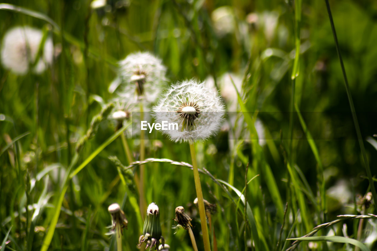 flower, plant, flowering plant, growth, fragility, vulnerability, freshness, beauty in nature, dandelion, nature, close-up, no people, day, field, green color, focus on foreground, white color, land, outdoors, flower head, positive emotion, softness, spring, dandelion seed