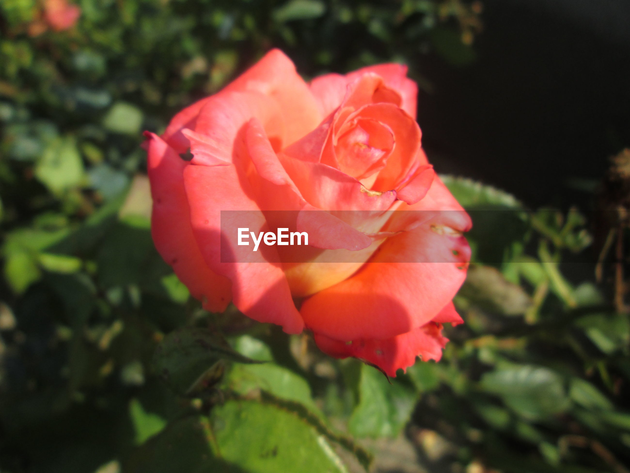 flower, petal, flower head, fragility, freshness, rose - flower, growth, beauty in nature, close-up, single flower, focus on foreground, blooming, nature, pink color, rose, plant, red, in bloom, park - man made space, leaf
