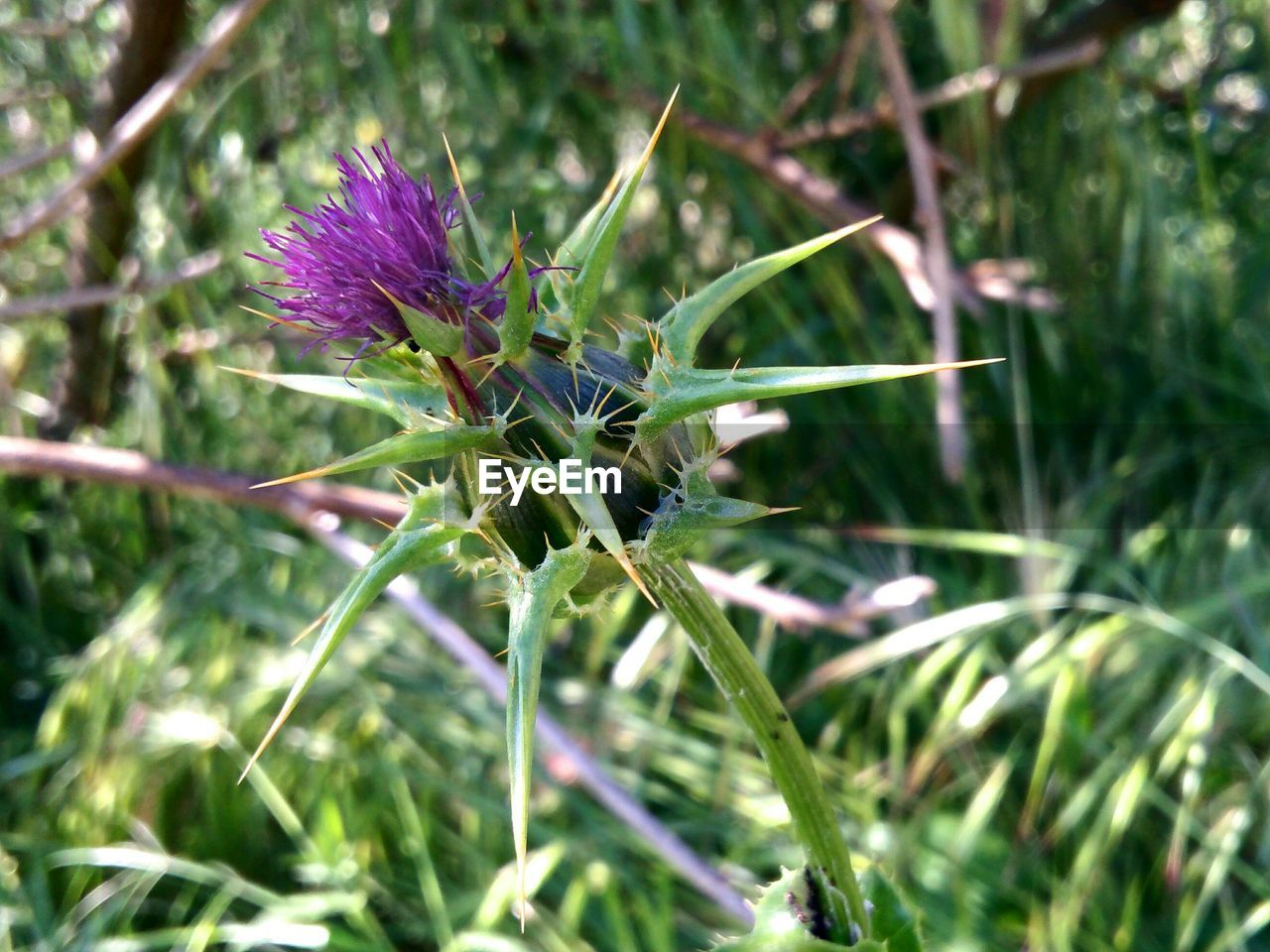 growth, plant, nature, flower, beauty in nature, purple, outdoors, no people, day, fragility, close-up, thistle, freshness, flower head