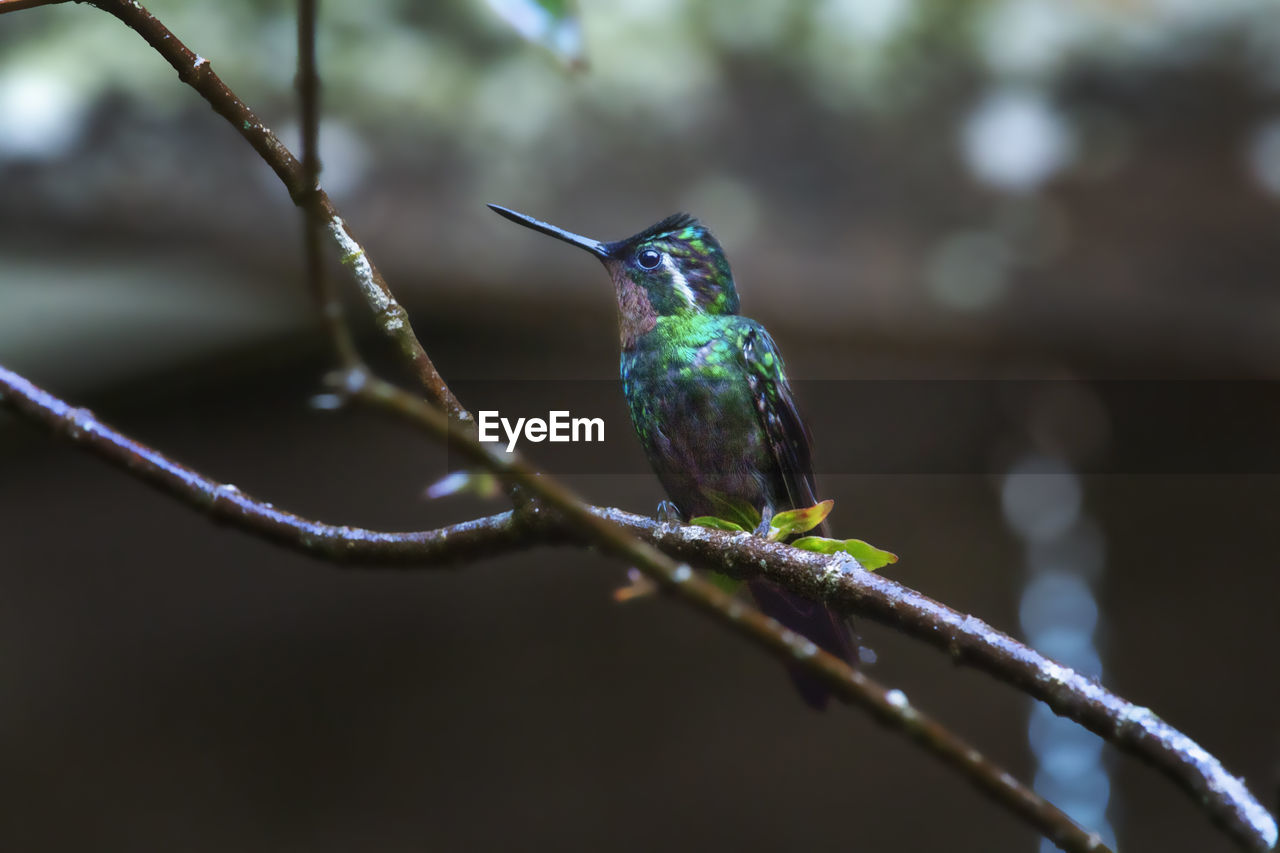bird, animal wildlife, animal themes, vertebrate, animal, animals in the wild, perching, one animal, hummingbird, branch, no people, day, focus on foreground, plant, nature, twig, beak, close-up, outdoors, green color, small