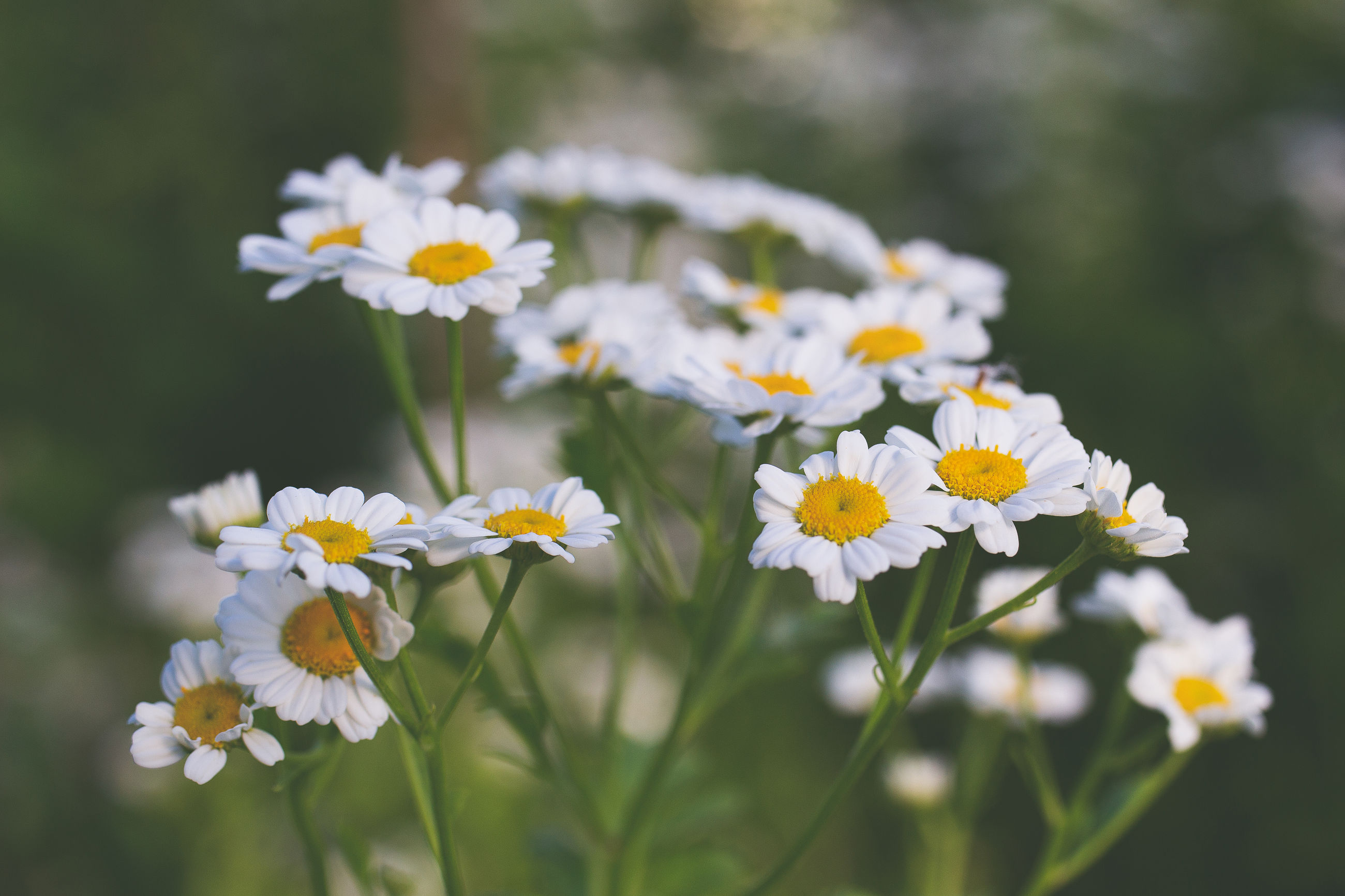 flower, flowering plant, plant, freshness, beauty in nature, nature, close-up, fragility, yellow, white, flower head, daisy, meadow, focus on foreground, grass, no people, summer, growth, botany, outdoors, tanacetum parthenium, wildflower, petal, springtime, plain, multi colored, selective focus, inflorescence, day, blossom, environment, sunlight, medicine, animal wildlife, macro photography, landscape, field, healthcare and medicine