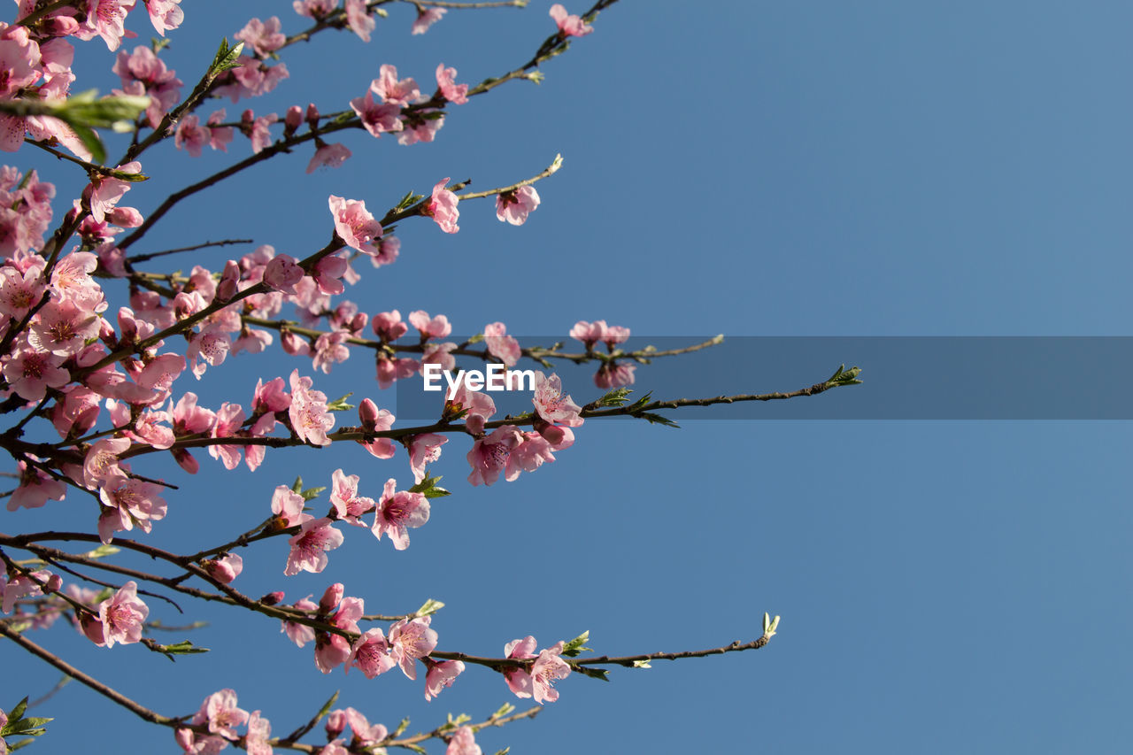 plant, sky, low angle view, beauty in nature, growth, flowering plant, flower, tree, fragility, branch, nature, clear sky, freshness, vulnerability, no people, day, blue, pink color, springtime, sunlight, outdoors, cherry blossom, cherry tree
