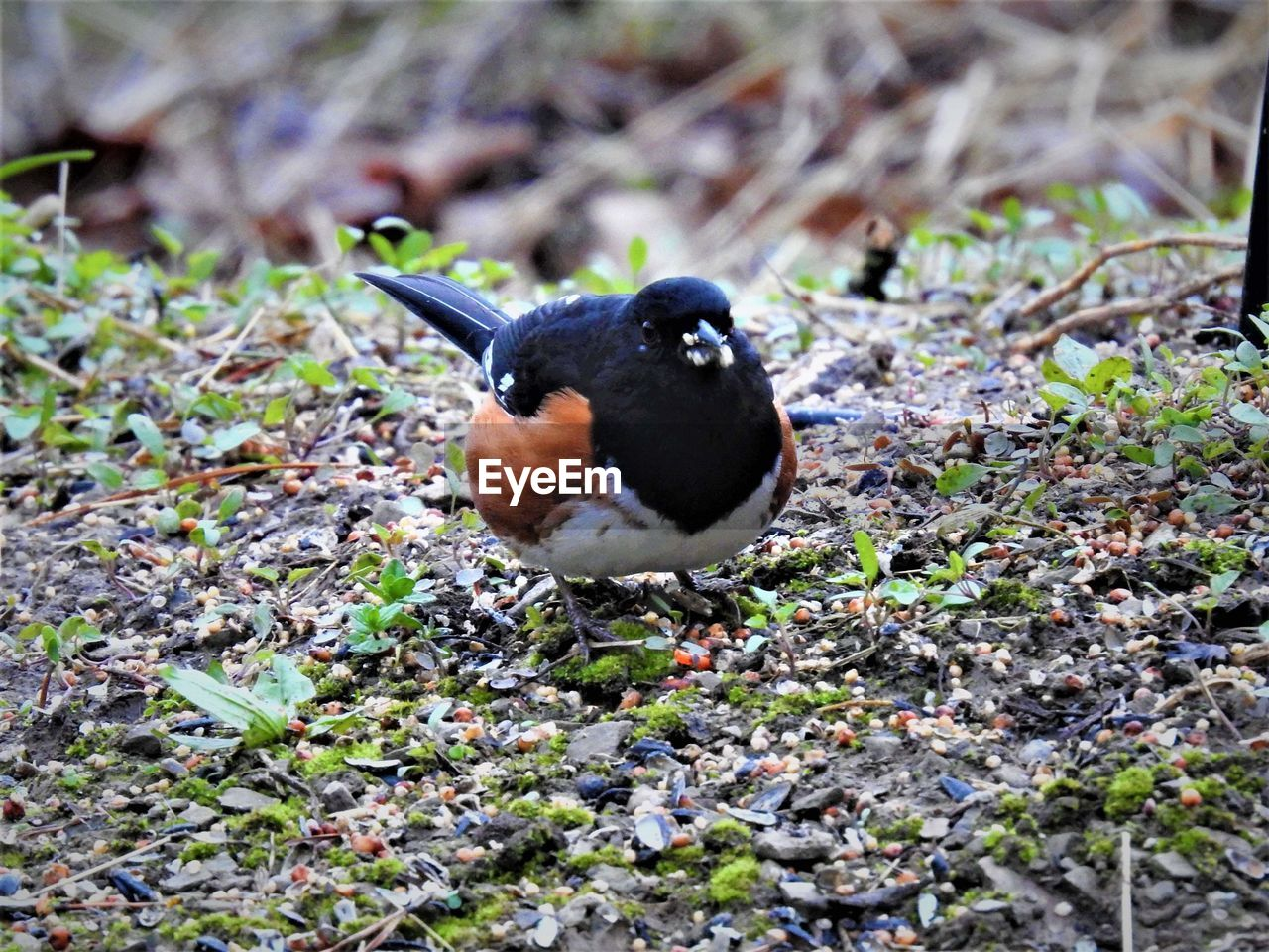 one animal, animal themes, bird, animal, vertebrate, animal wildlife, animals in the wild, land, day, no people, field, nature, selective focus, high angle view, outdoors, close-up, black color, perching, full length, plant