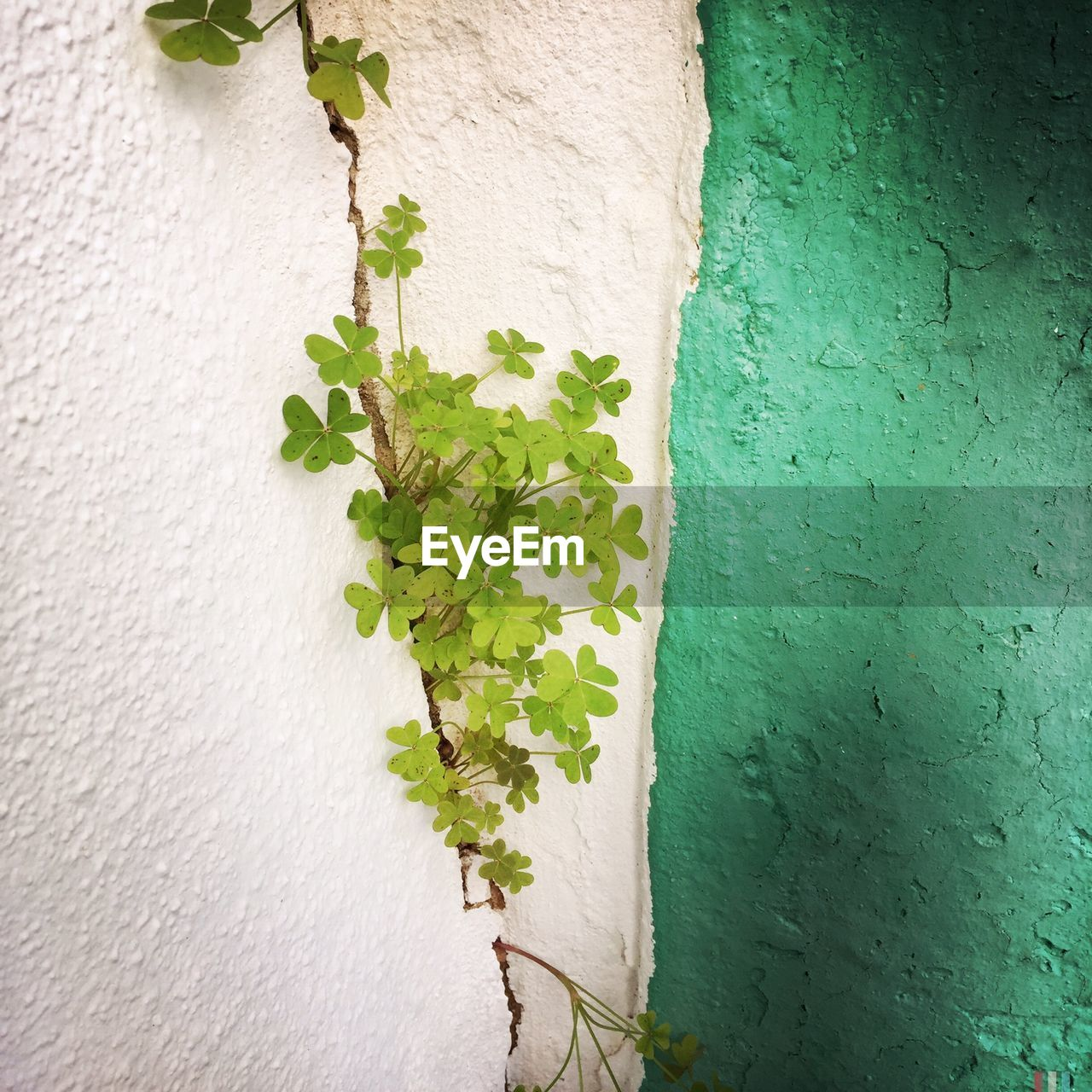 wall - building feature, plant, growth, ivy, leaf, built structure, architecture, nature, outdoors, day, close-up, no people, creeper plant, green color, building exterior, textured, whitewashed, freshness