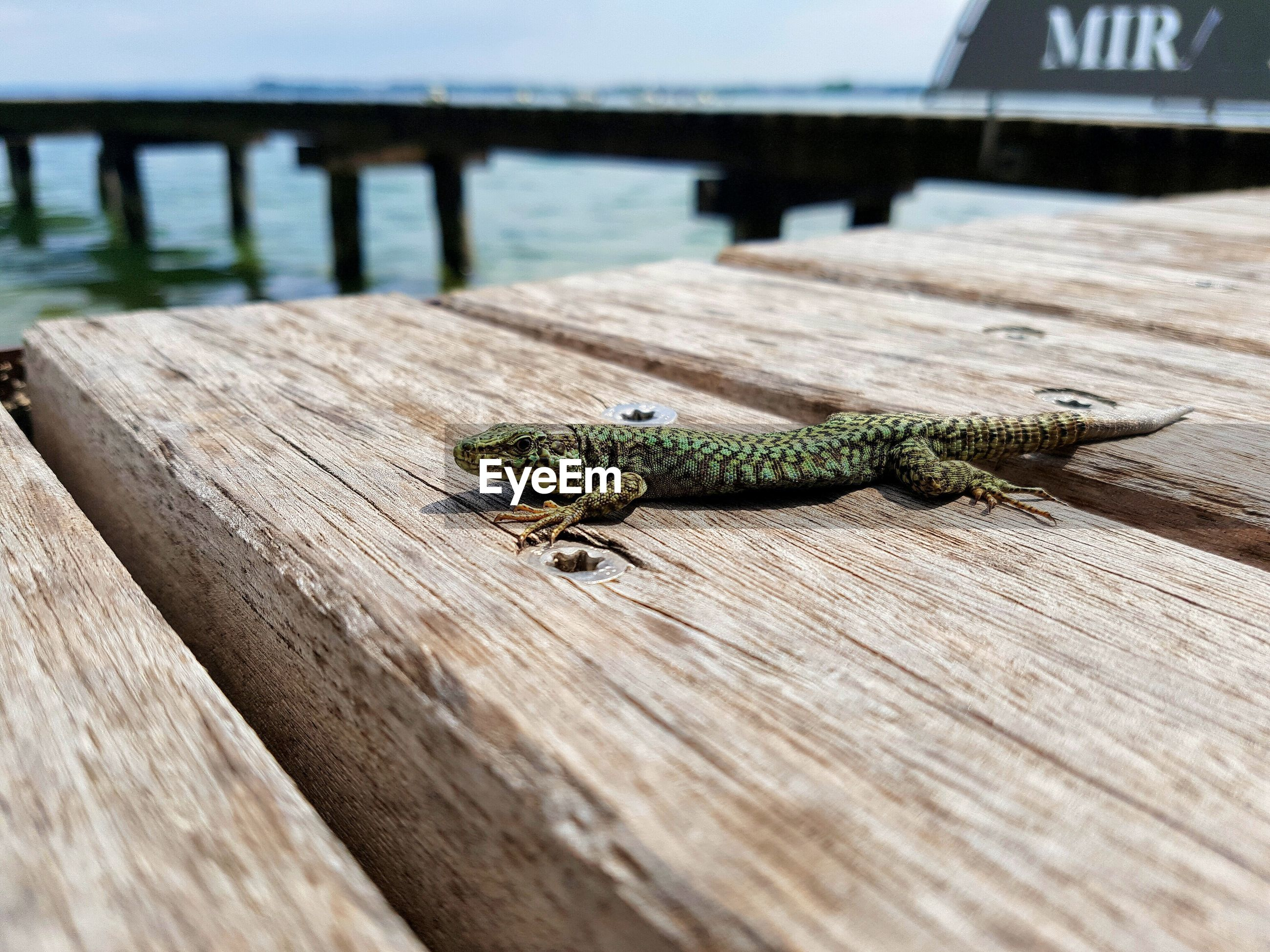 Lizard on wooden pier over lake garda