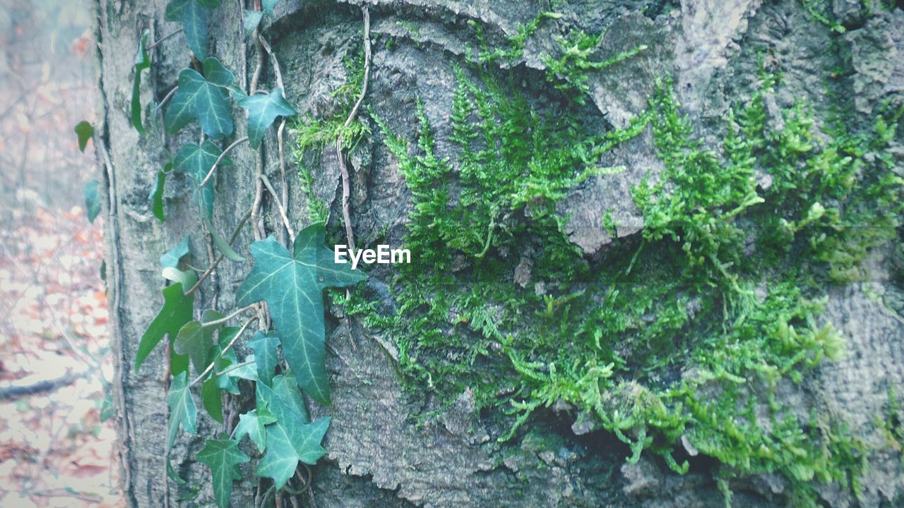 growth, plant, leaf, ivy, tree trunk, green color, growing, nature, creeper plant, day, no people, tree, outdoors, close-up, textured, beauty in nature, fragility, freshness