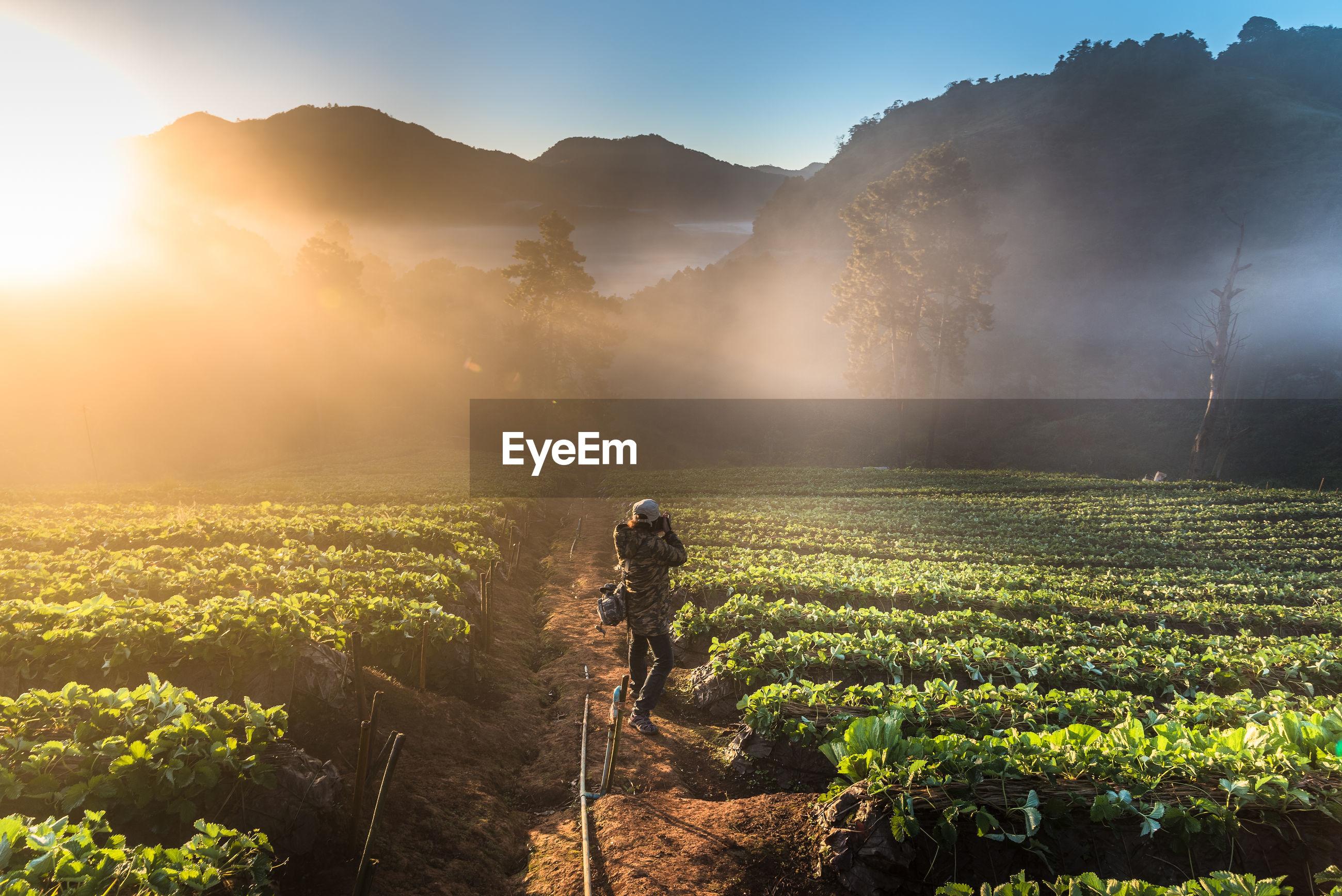 Tea plantation on doi ang khang mountain during foggy weather