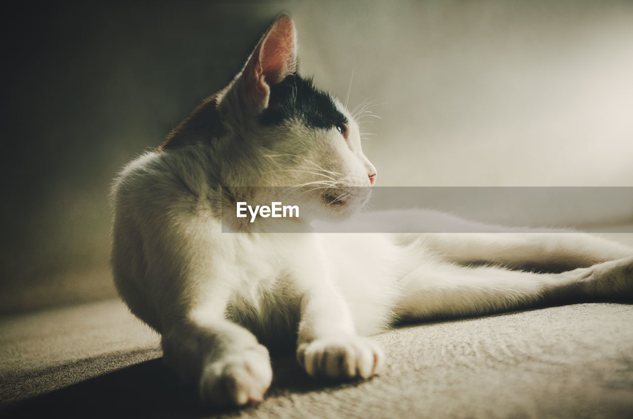 domestic, pets, animal, cat, animal themes, one animal, feline, domestic animals, mammal, domestic cat, vertebrate, relaxation, close-up, looking away, no people, looking, resting, indoors, whisker, selective focus