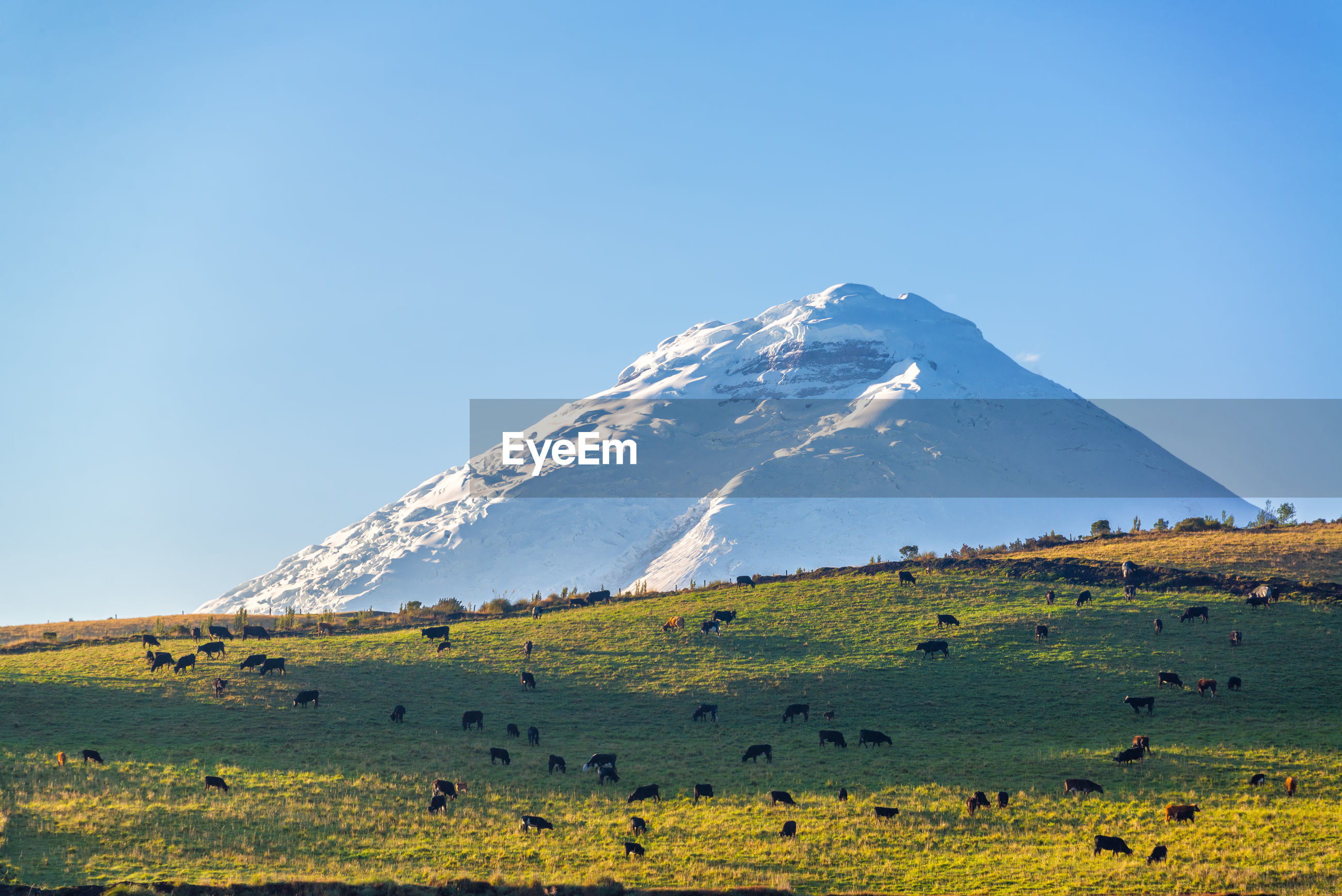 Cattle grazing on field against snowcapped mountain in background