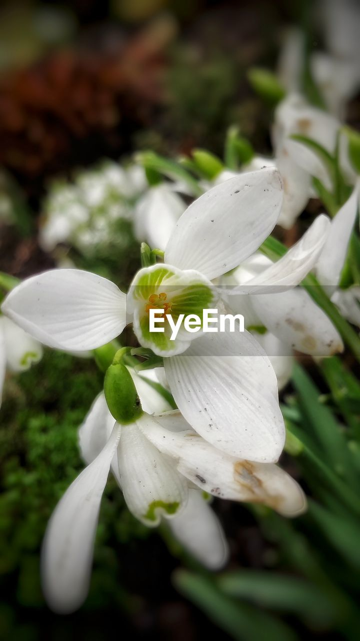 flower, petal, white color, fragility, beauty in nature, freshness, growth, flower head, nature, close-up, no people, plant, blooming, day, outdoors, snowdrop