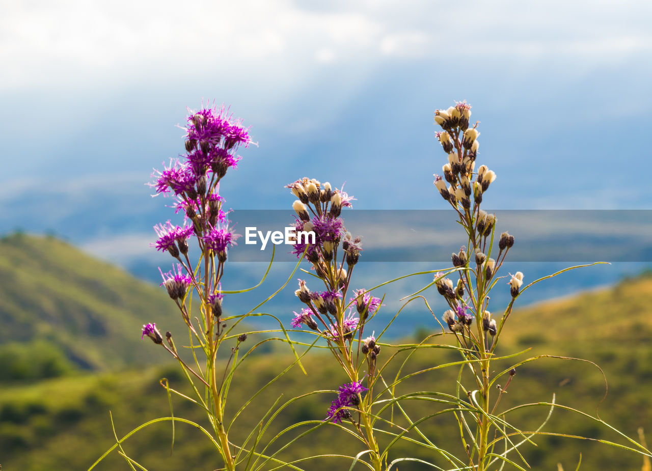 nature, flower, growth, beauty in nature, plant, focus on foreground, field, fragility, no people, day, tranquility, purple, sky, outdoors, scenics, close-up, freshness, flower head, thistle