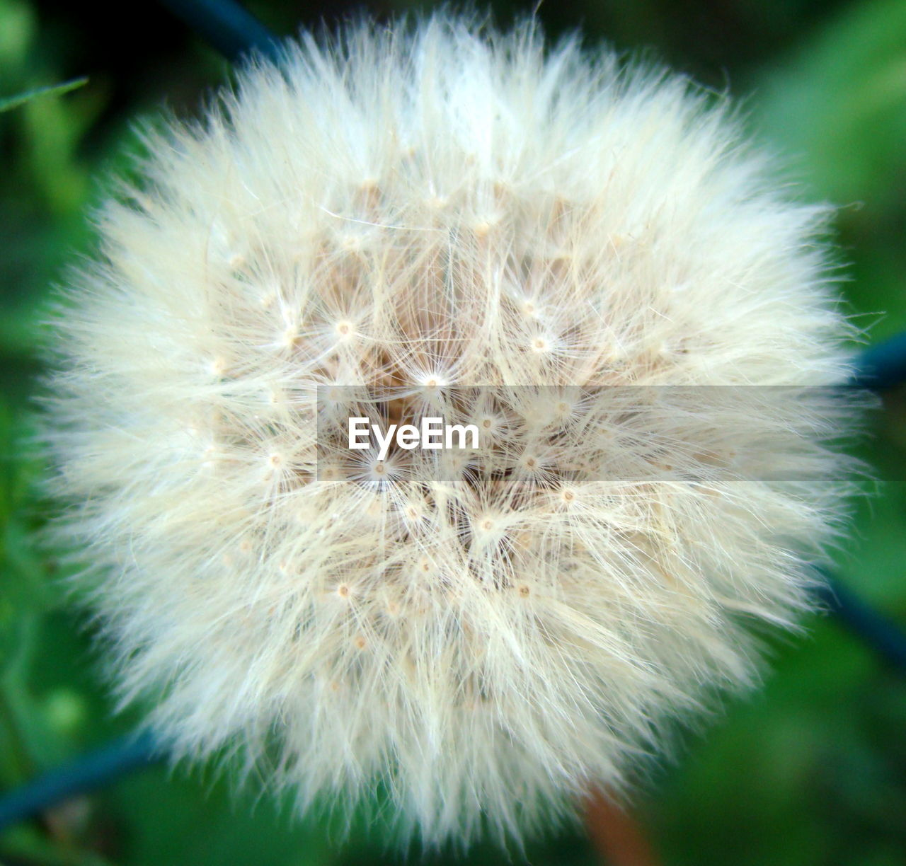 vulnerability, fragility, flower, close-up, dandelion, flowering plant, inflorescence, plant, beauty in nature, growth, freshness, focus on foreground, flower head, white color, nature, no people, softness, day, outdoors, dandelion seed