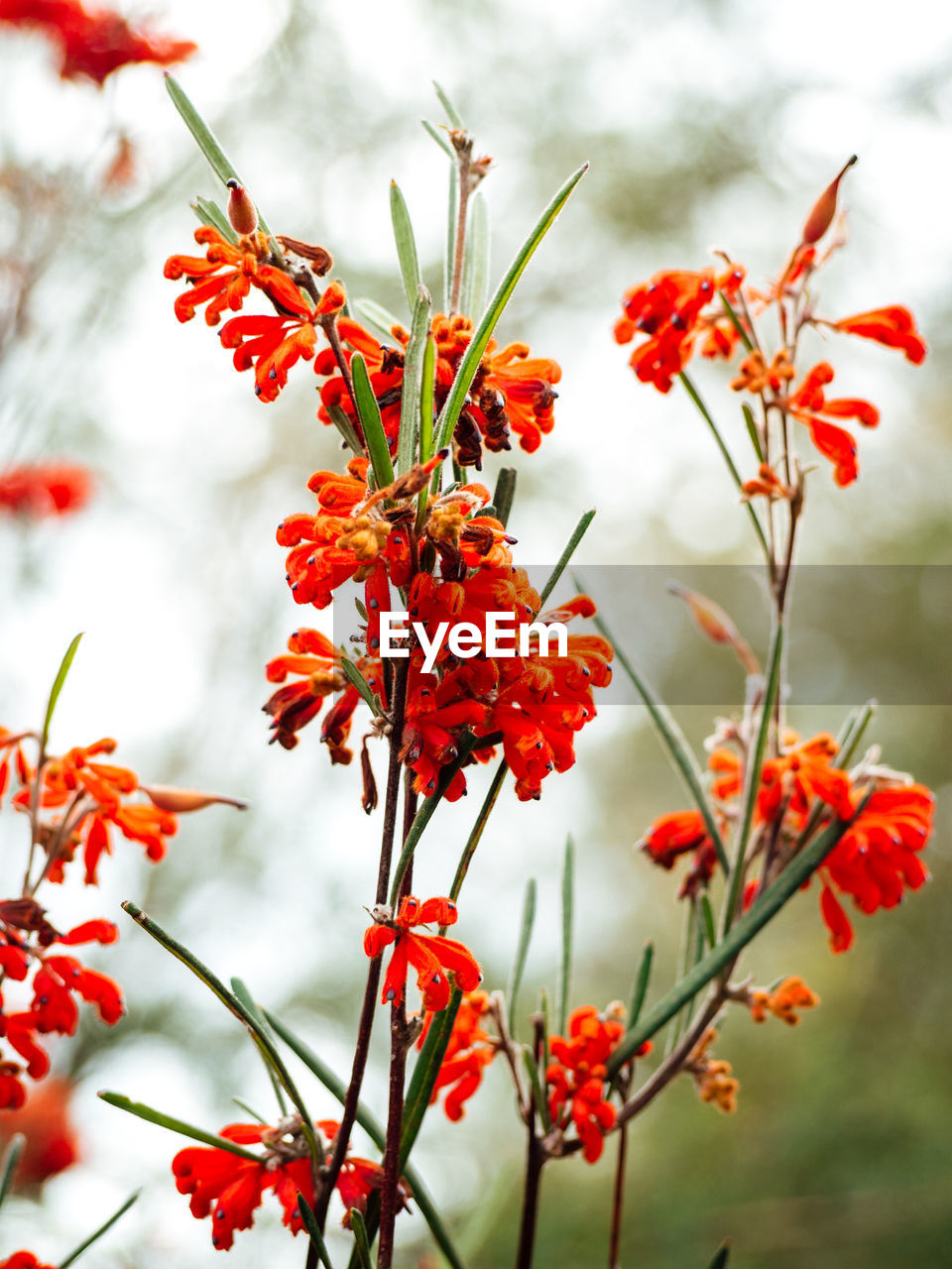 red, plant, beauty in nature, growth, flower, flowering plant, freshness, close-up, vulnerability, focus on foreground, fragility, no people, day, nature, petal, selective focus, flower head, outdoors, orange color, inflorescence, rowanberry