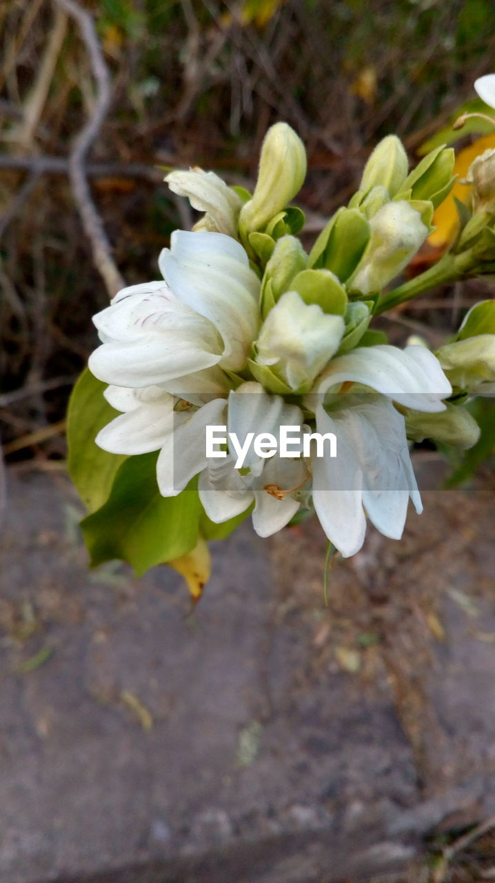 flower, white color, petal, nature, growth, plant, outdoors, fragility, day, beauty in nature, no people, flower head, close-up, freshness, blooming