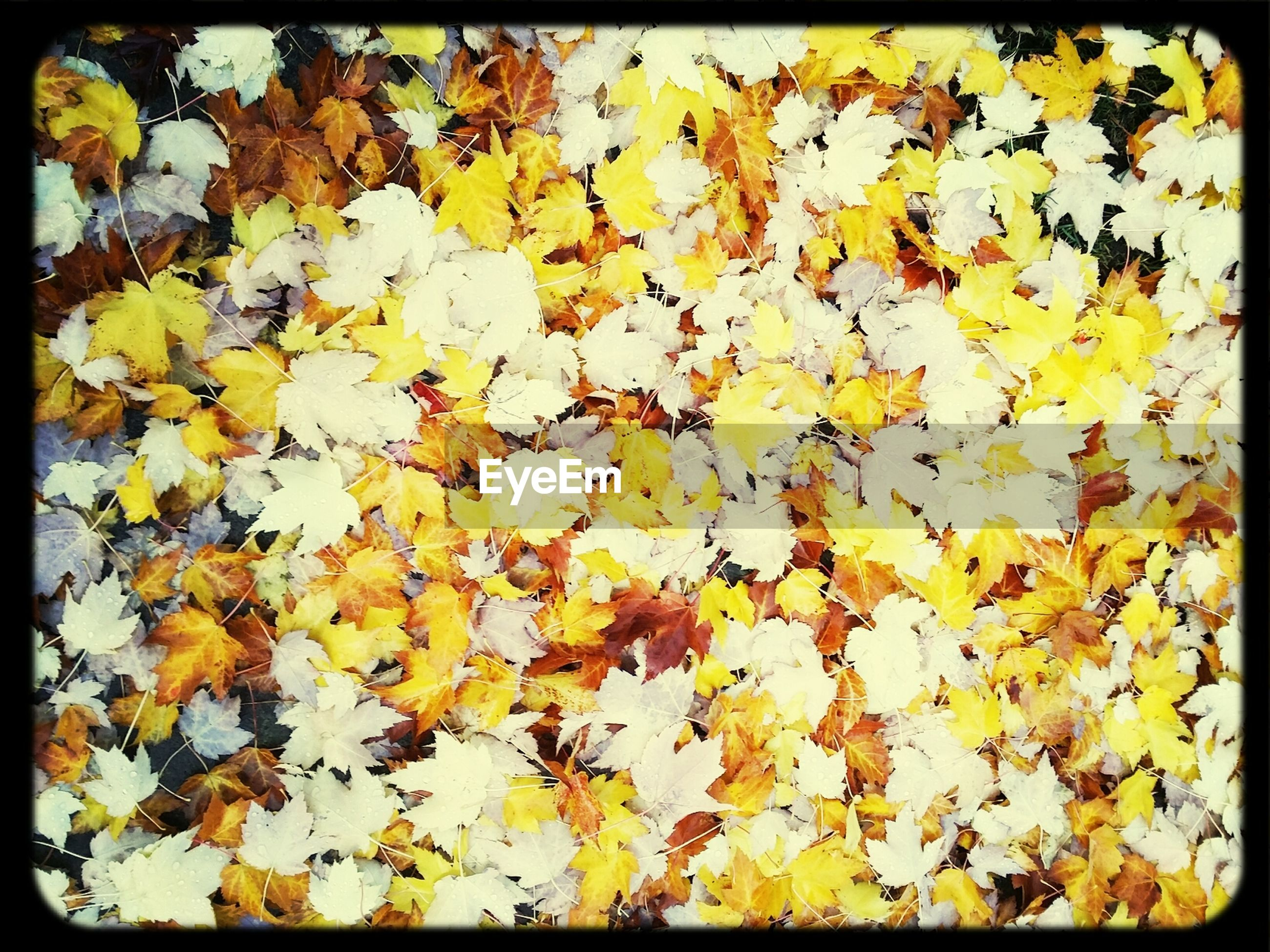 Pile of yellow leaves