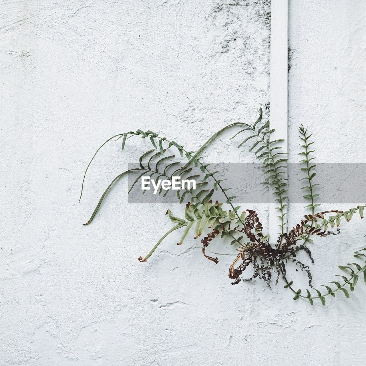 wall - building feature, plant, no people, plant part, white color, leaf, built structure, nature, day, growth, green color, architecture, outdoors, close-up, food, food and drink, building exterior, creeper plant, wall, freshness, concrete