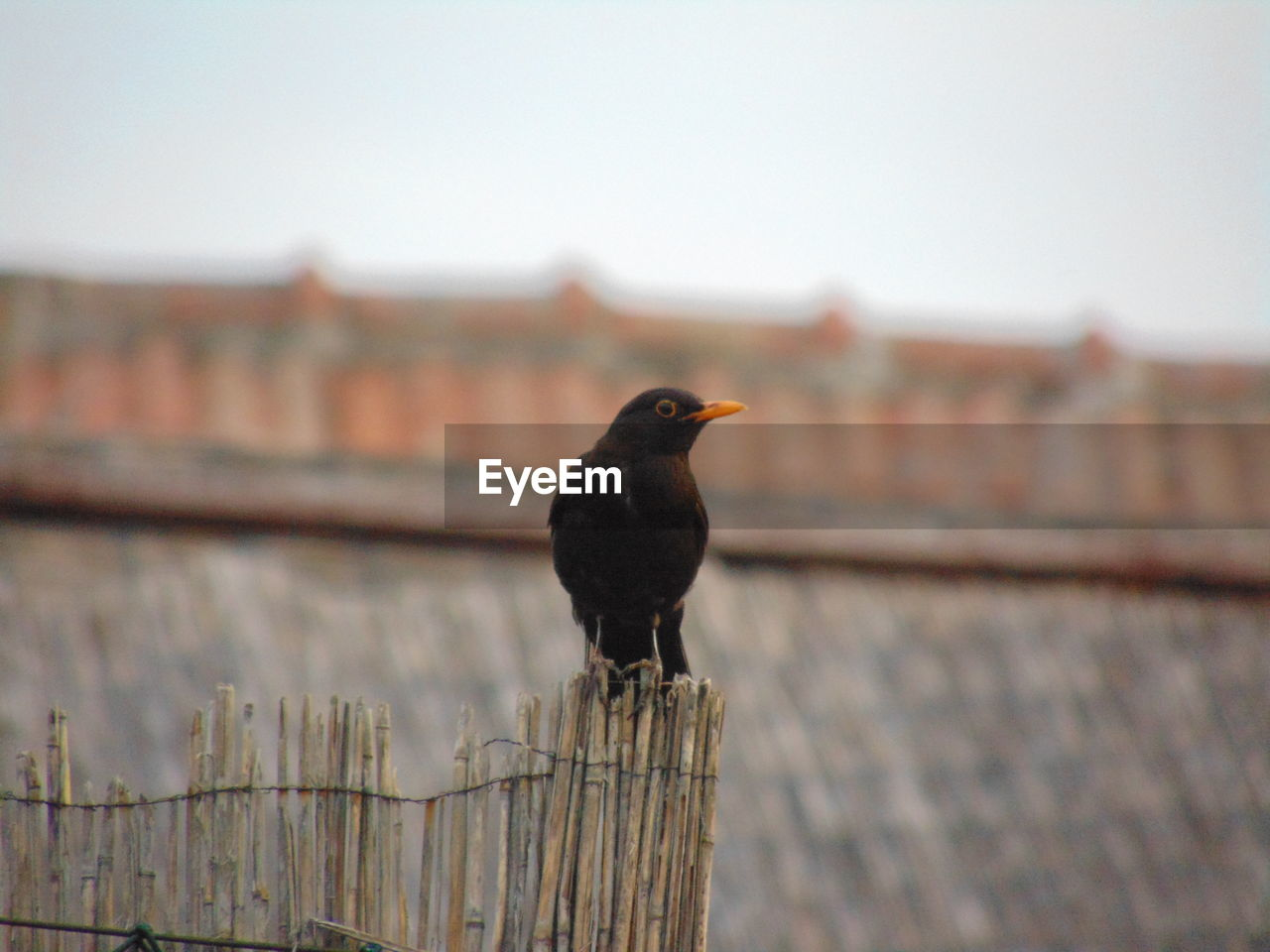 bird, animals in the wild, animal themes, vertebrate, animal wildlife, animal, perching, focus on foreground, one animal, day, architecture, outdoors, nature, sky, no people, close-up, built structure, black color, wood - material, railing, blackbird