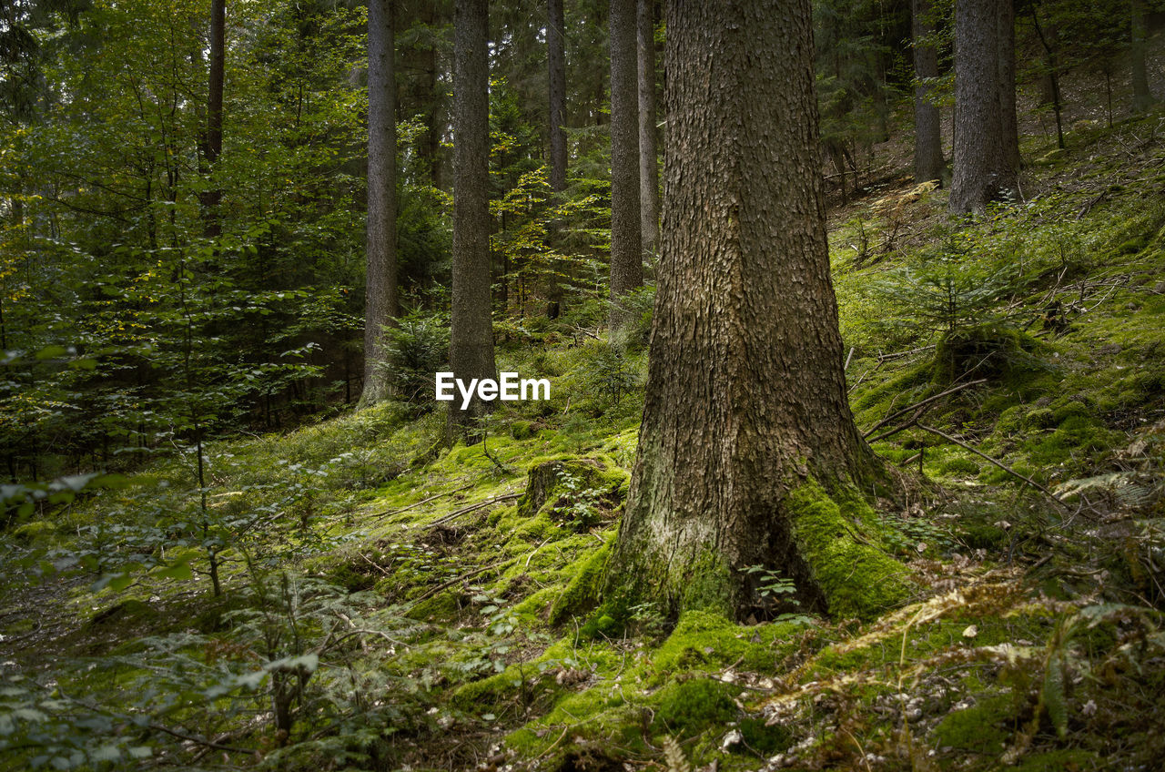 forest, tree, land, plant, tree trunk, trunk, woodland, no people, nature, growth, beauty in nature, tranquility, non-urban scene, day, scenics - nature, environment, green color, moss, tranquil scene, lush foliage, outdoors, pine woodland, pine tree, rainforest, coniferous tree