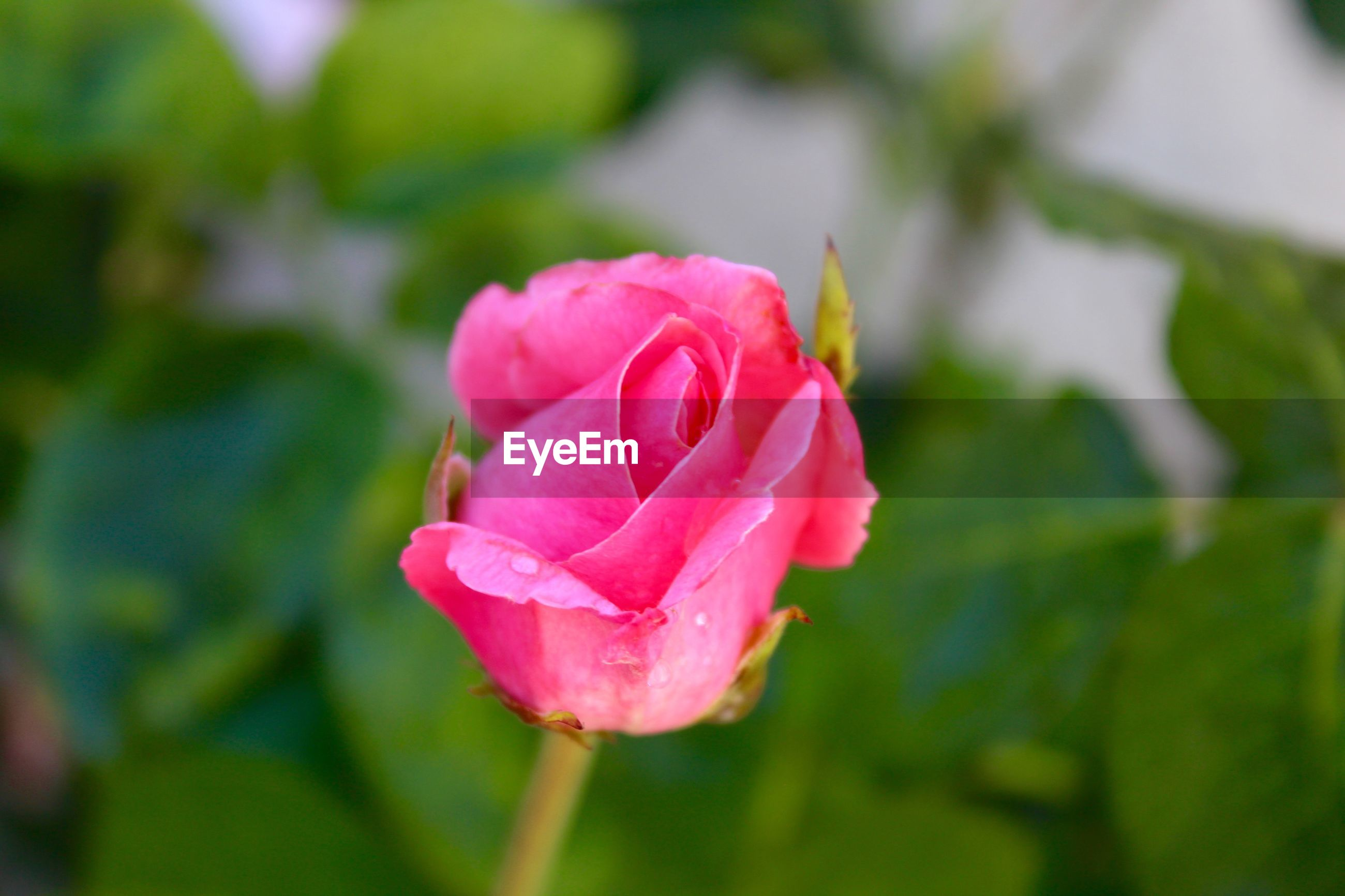 CLOSE-UP OF PINK ROSE FLOWER IN SUNLIGHT