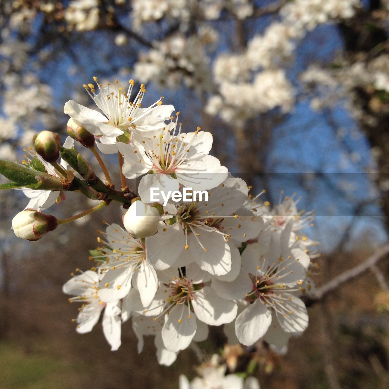 flowering plant, flower, plant, beauty in nature, fragility, freshness, vulnerability, growth, tree, white color, blossom, close-up, branch, nature, springtime, twig, day, petal, botany, no people, pollen, cherry blossom, flower head, outdoors, cherry tree, spring