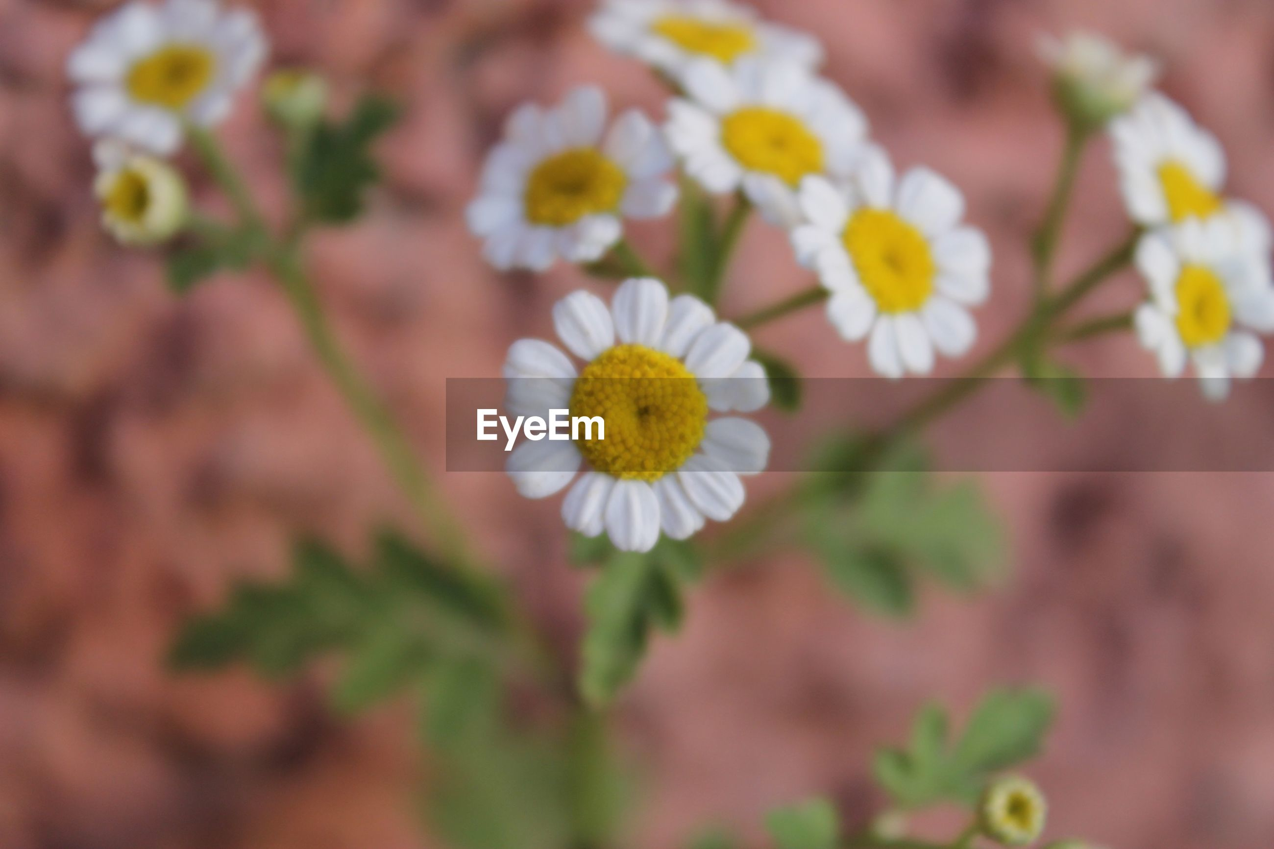 flower, freshness, petal, fragility, flower head, beauty in nature, growth, blooming, close-up, focus on foreground, nature, pollen, white color, yellow, in bloom, plant, selective focus, daisy, blossom, stamen