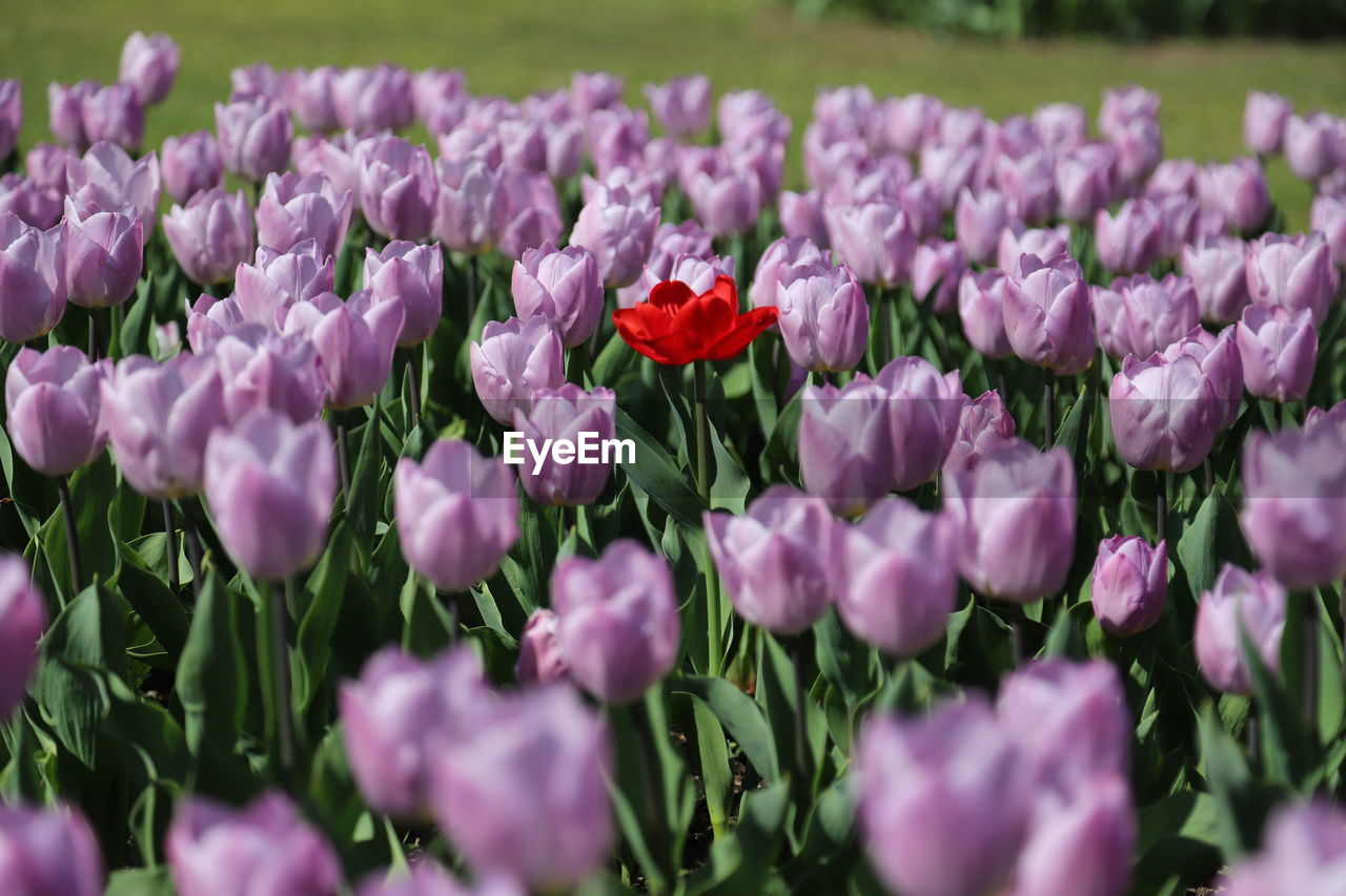 flower, flowering plant, freshness, plant, vulnerability, fragility, beauty in nature, petal, growth, pink color, close-up, flower head, inflorescence, selective focus, nature, day, no people, field, land, park - man made space, purple, flowerbed, gardening
