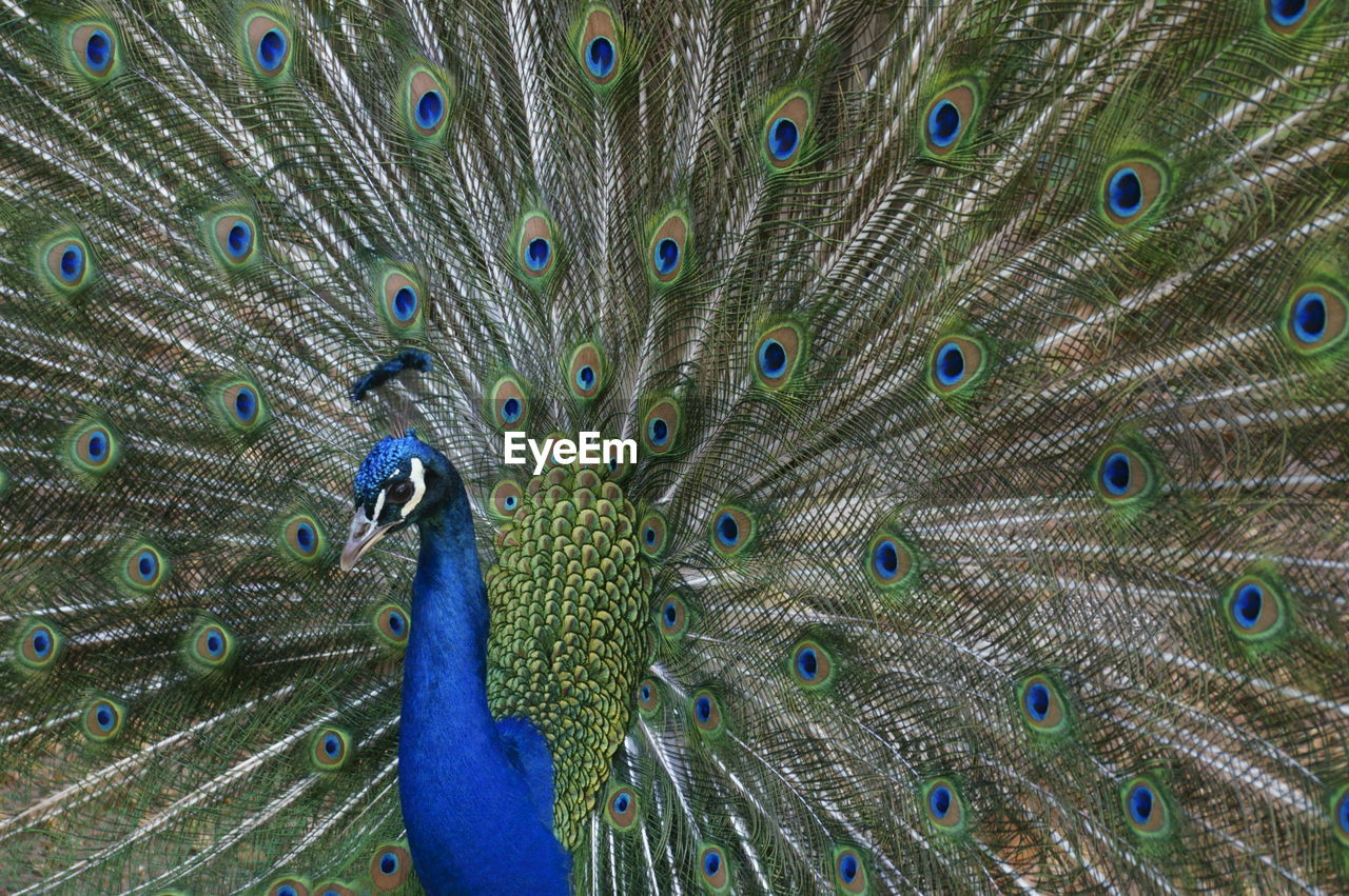peacock, animal, peacock feather, bird, animal themes, one animal, animal wildlife, feather, animals in the wild, fanned out, vertebrate, blue, no people, male animal, close-up, beauty in nature, beauty, green color, full frame, pride