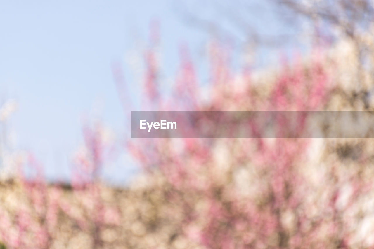 pink color, beauty in nature, plant, nature, sky, flower, flowering plant, day, tree, growth, fragility, freshness, low angle view, no people, blossom, springtime, outdoors, selective focus, vulnerability, close-up, cherry blossom, purple