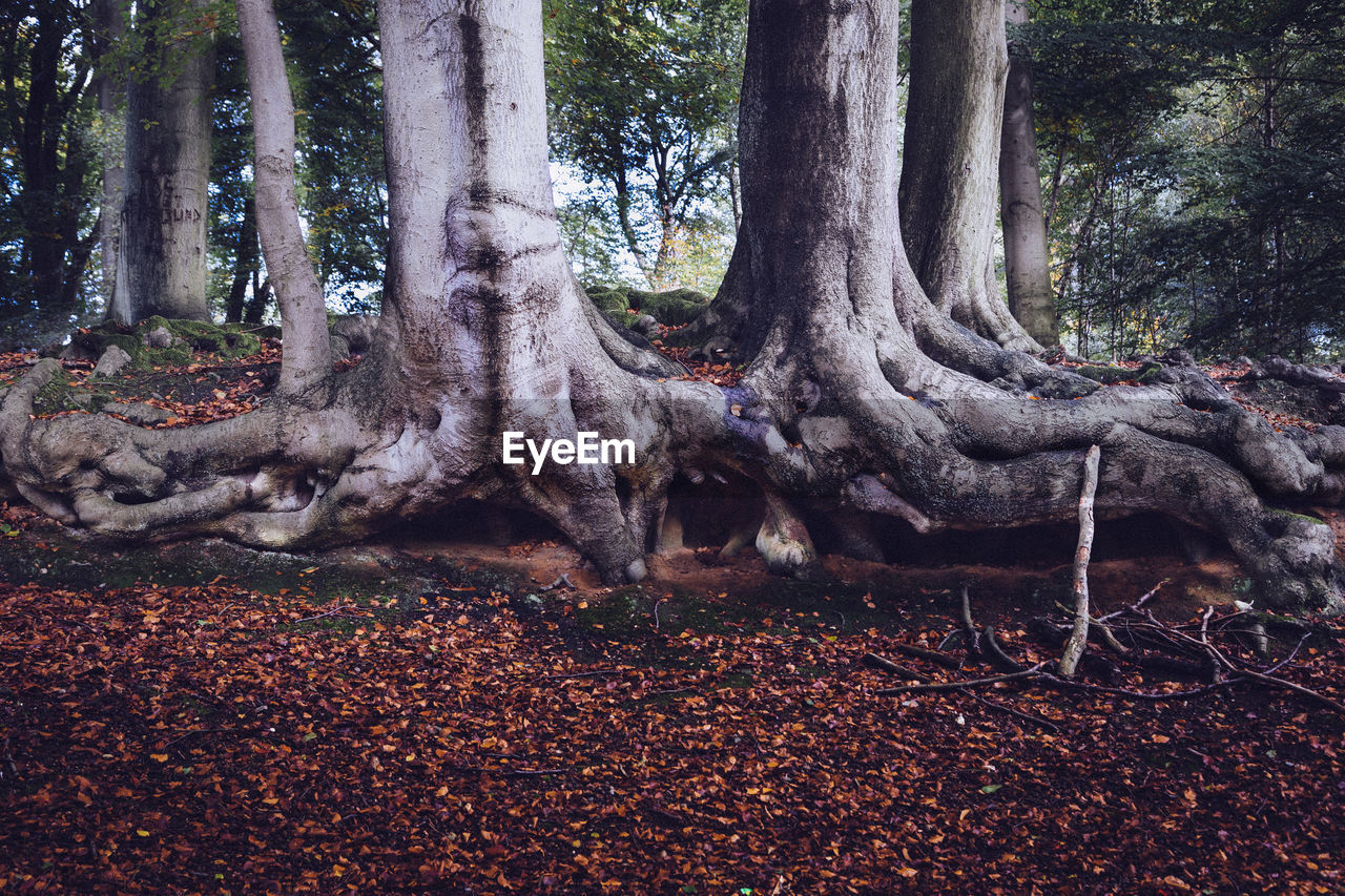 tree trunk, tree, nature, forest, tranquility, day, outdoors, no people, beauty in nature, branch, animal themes, mammal