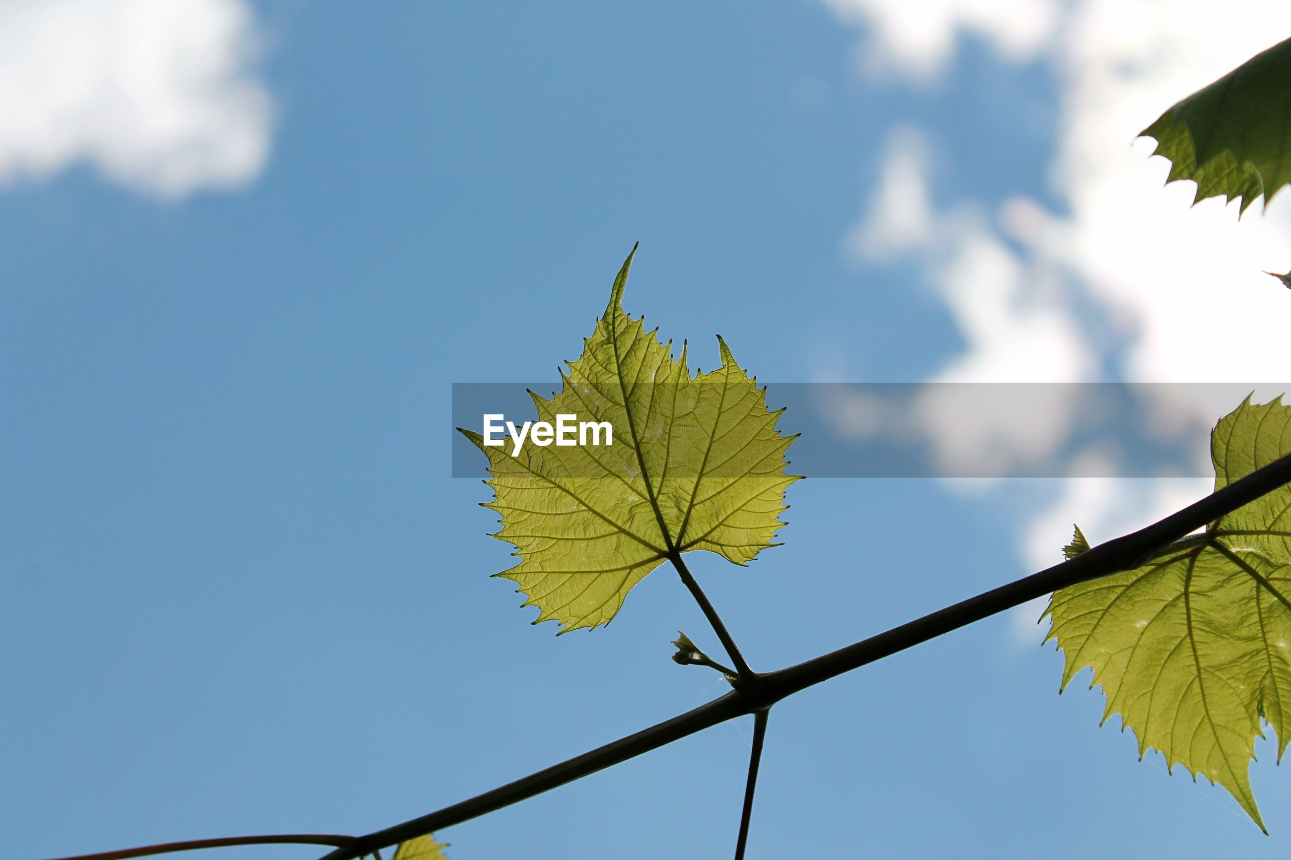 LOW ANGLE VIEW OF MAPLE LEAVES ON PLANT AGAINST SKY