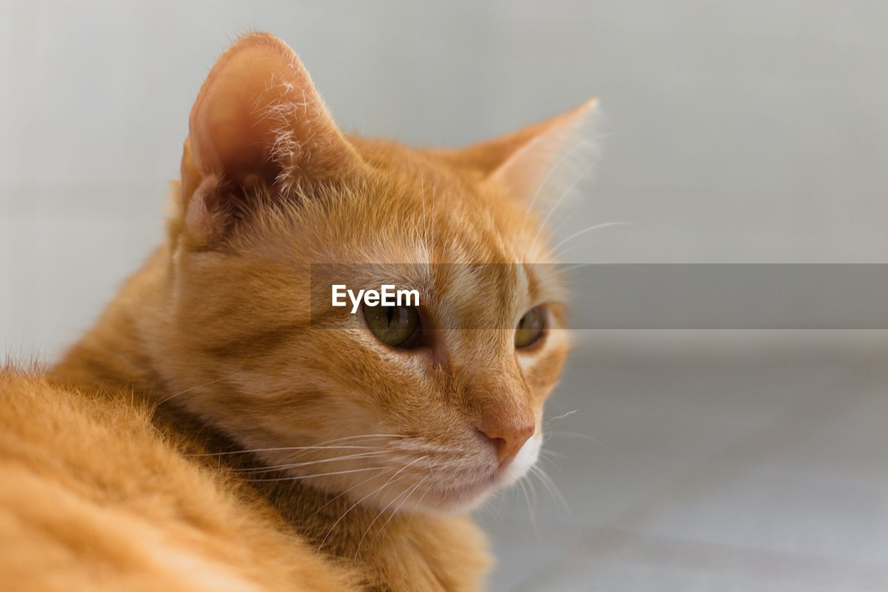 mammal, animal themes, pets, domestic, domestic animals, one animal, animal, feline, cat, domestic cat, vertebrate, looking away, close-up, looking, no people, whisker, indoors, focus on foreground, selective focus, brown, ginger cat, animal head, animal eye