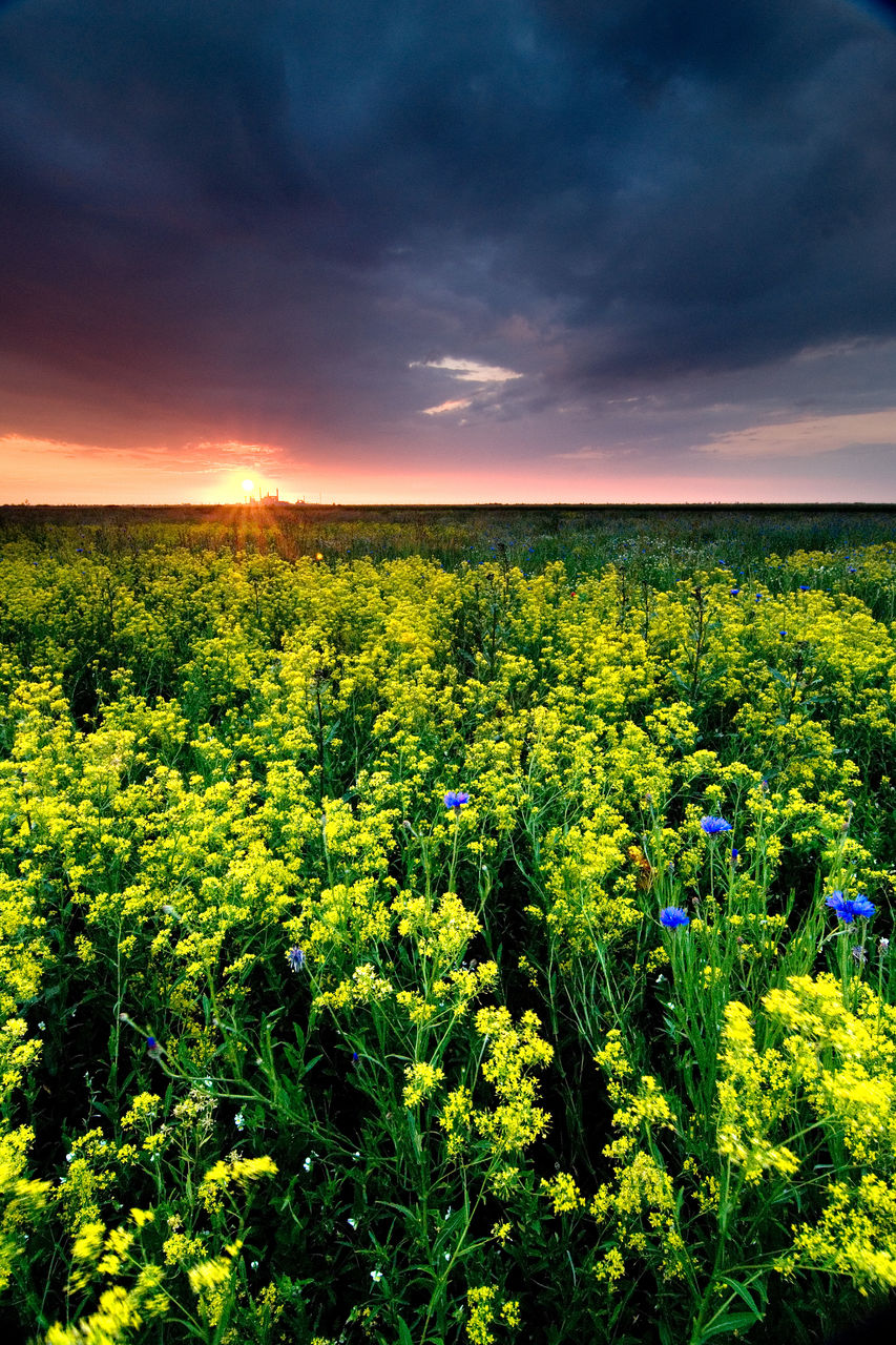 nature, beauty in nature, field, growth, agriculture, scenics, tranquility, flower, crop, landscape, plant, yellow, cloud - sky, rural scene, tranquil scene, outdoors, no people, sky, sunset, oilseed rape, freshness, day, tree