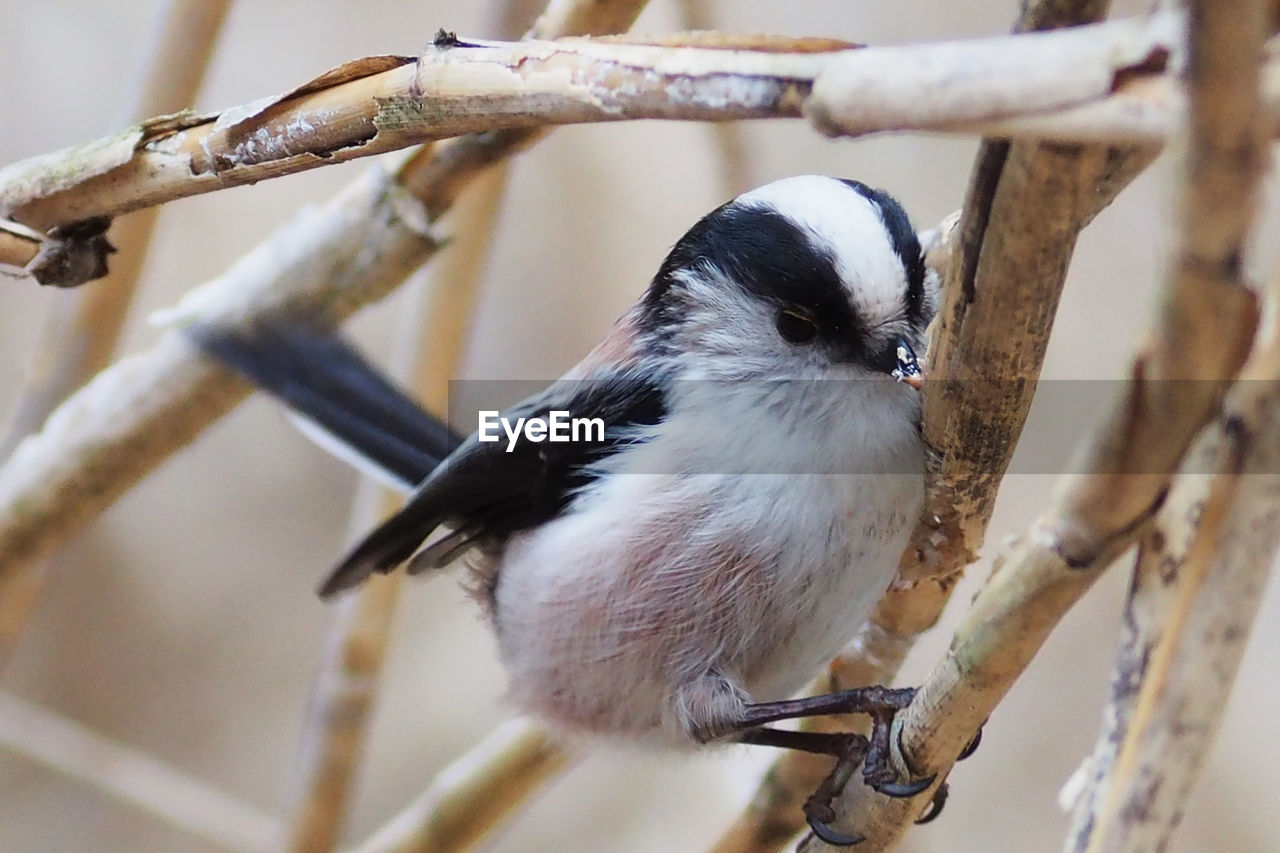 animal, animal themes, vertebrate, bird, one animal, perching, animal wildlife, animals in the wild, branch, tree, focus on foreground, plant, no people, close-up, day, outdoors, nature, twig, full length, selective focus