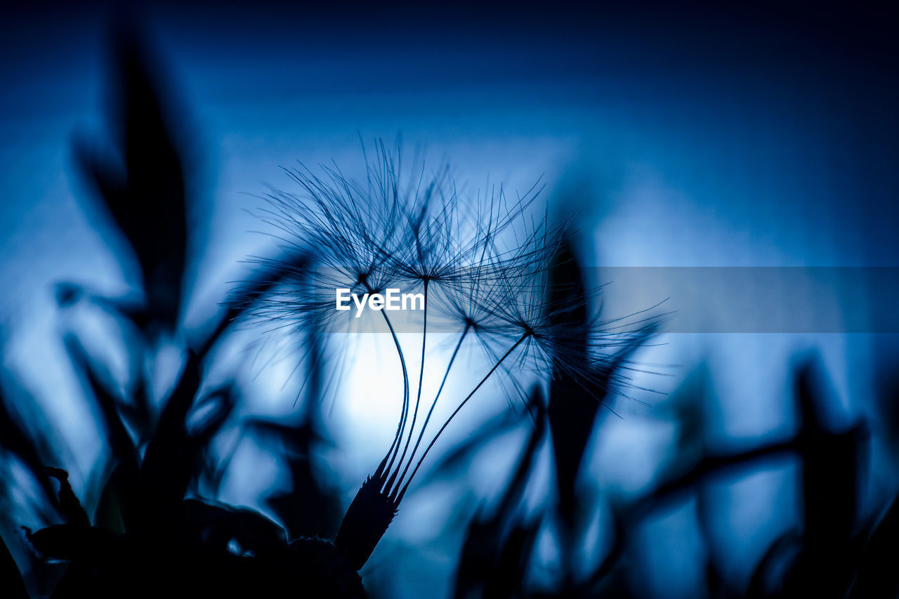 plant, selective focus, flower, fragility, flowering plant, close-up, vulnerability, growth, beauty in nature, dandelion, silhouette, no people, freshness, nature, focus on foreground, blue, dusk, plant stem, sky, inflorescence, flower head, softness, dandelion seed
