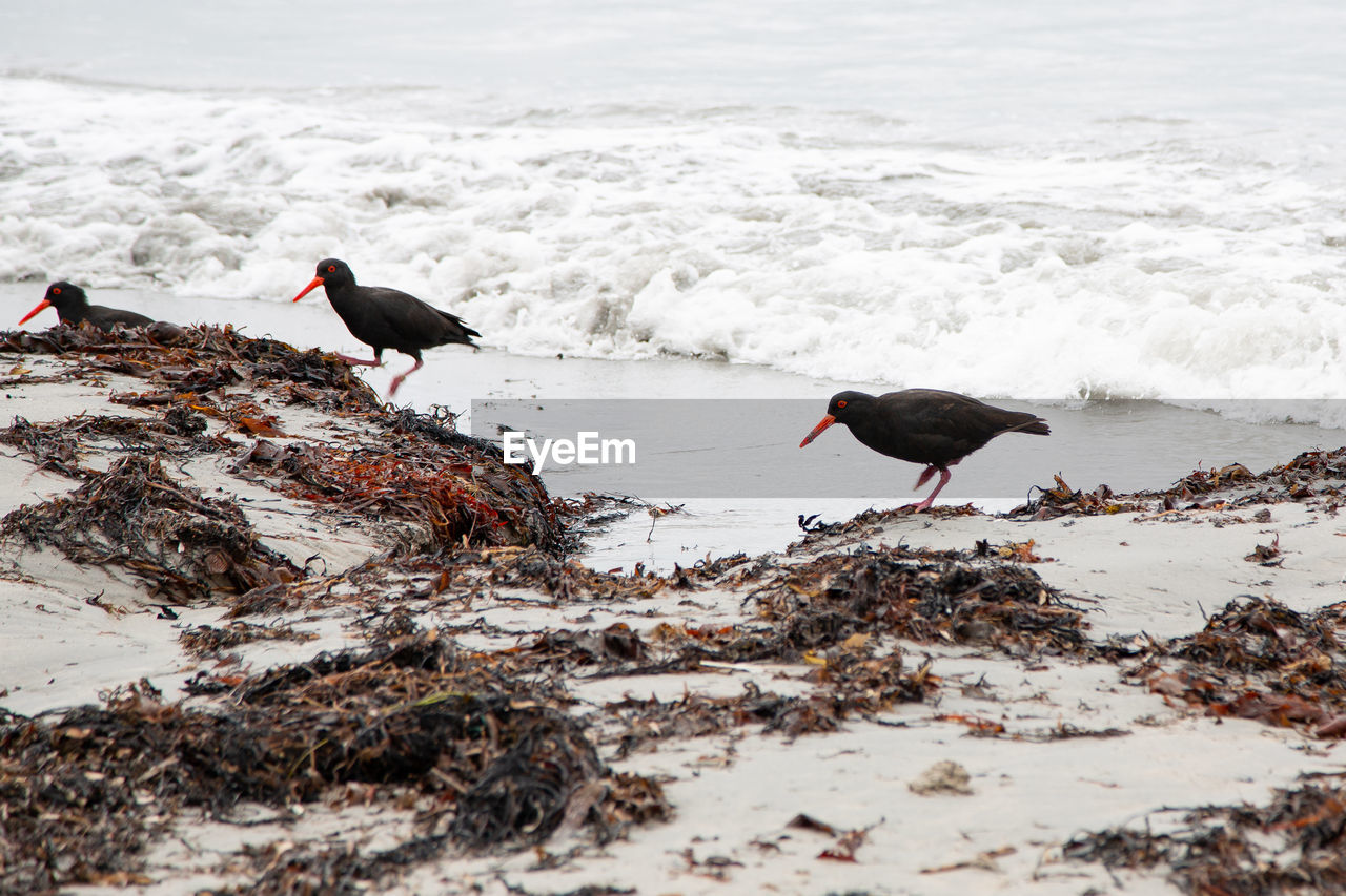 animal, bird, animal themes, group of animals, vertebrate, animals in the wild, water, animal wildlife, beach, sea, two animals, land, nature, day, no people, outdoors, black color, wave