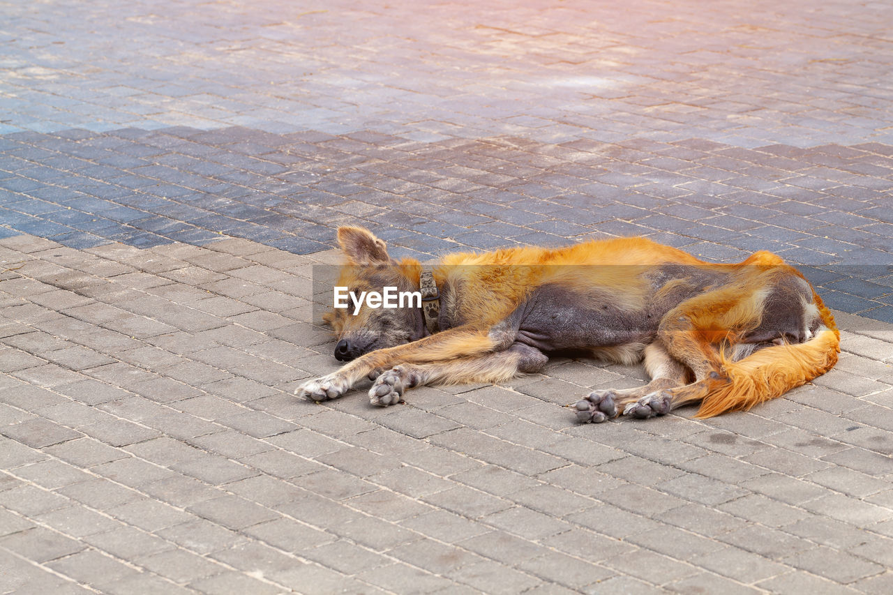 mammal, animal themes, pets, animal, domestic, one animal, domestic animals, canine, dog, vertebrate, footpath, relaxation, street, no people, day, city, high angle view, lying down, stray animal, cobblestone, paving stone