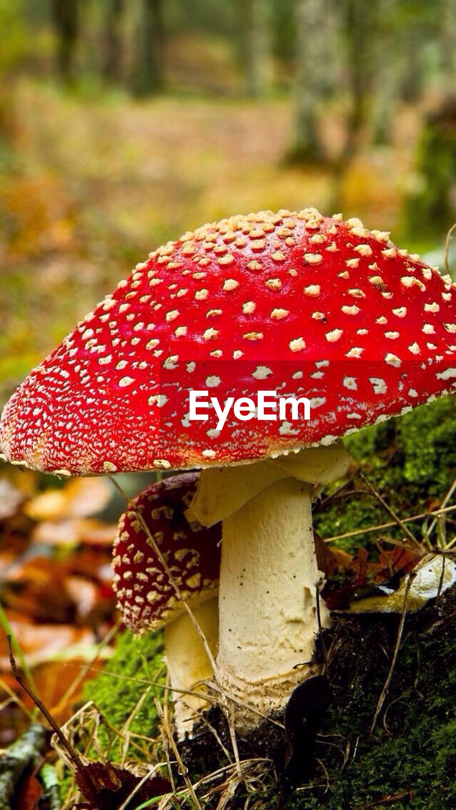 red, mushroom, fungus, fly agaric mushroom, nature, no people, close-up, day, toadstool, focus on foreground, growth, beauty in nature, outdoors, freshness