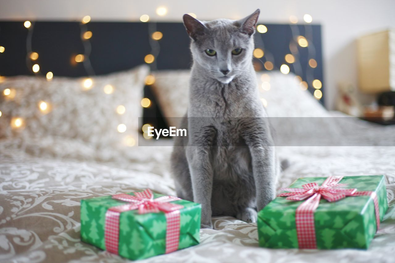 PORTRAIT OF CAT LYING ON TABLE IN ILLUMINATED CHRISTMAS