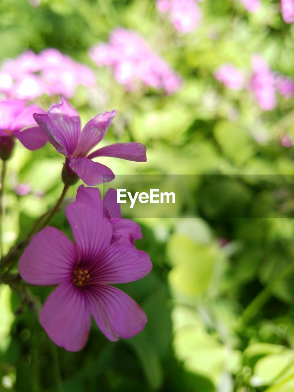 flowering plant, flower, plant, fragility, vulnerability, freshness, beauty in nature, petal, inflorescence, flower head, growth, close-up, no people, pink color, focus on foreground, day, nature, purple, outdoors, park - man made space