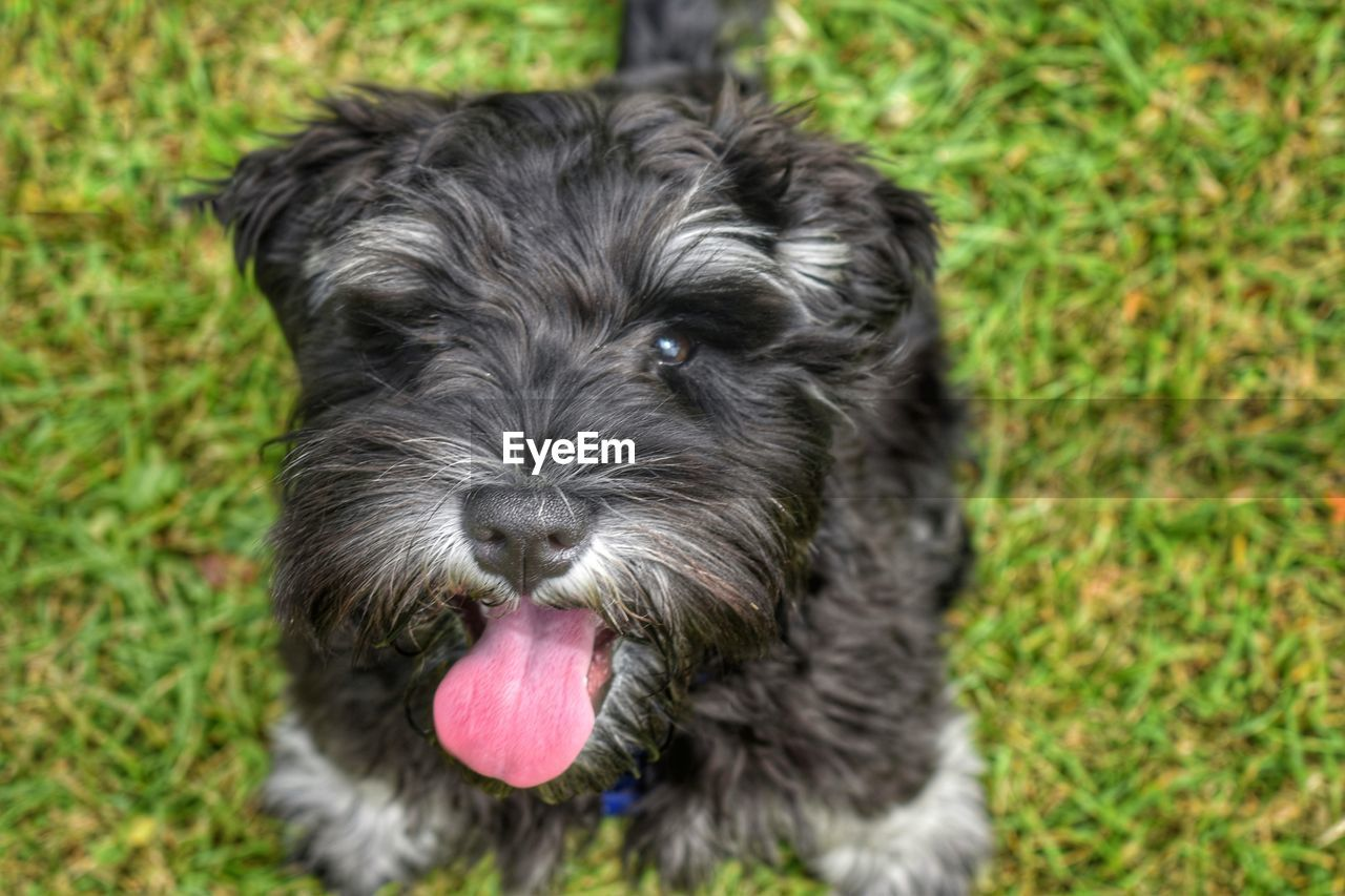 one animal, animal themes, domestic, canine, mammal, pets, dog, animal, domestic animals, vertebrate, portrait, grass, no people, looking at camera, close-up, plant, animal body part, black color, puppy, sticking out tongue, animal tongue, shih tzu, animal head, panting, small, mouth open