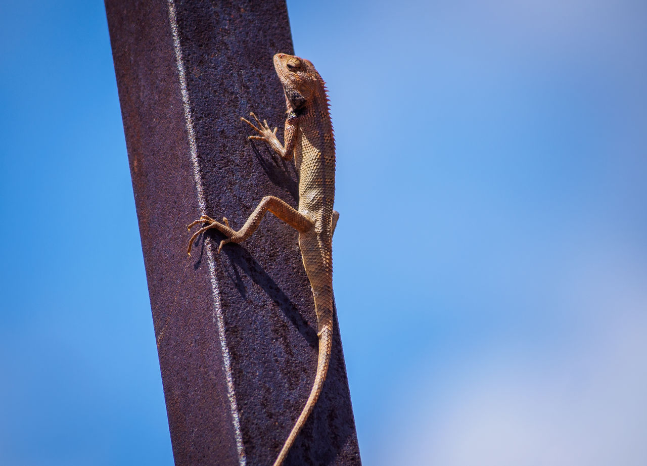 animal, animal themes, animals in the wild, animal wildlife, one animal, vertebrate, sky, clear sky, no people, low angle view, blue, day, nature, reptile, lizard, copy space, close-up, plant, outdoors, focus on foreground, blue background