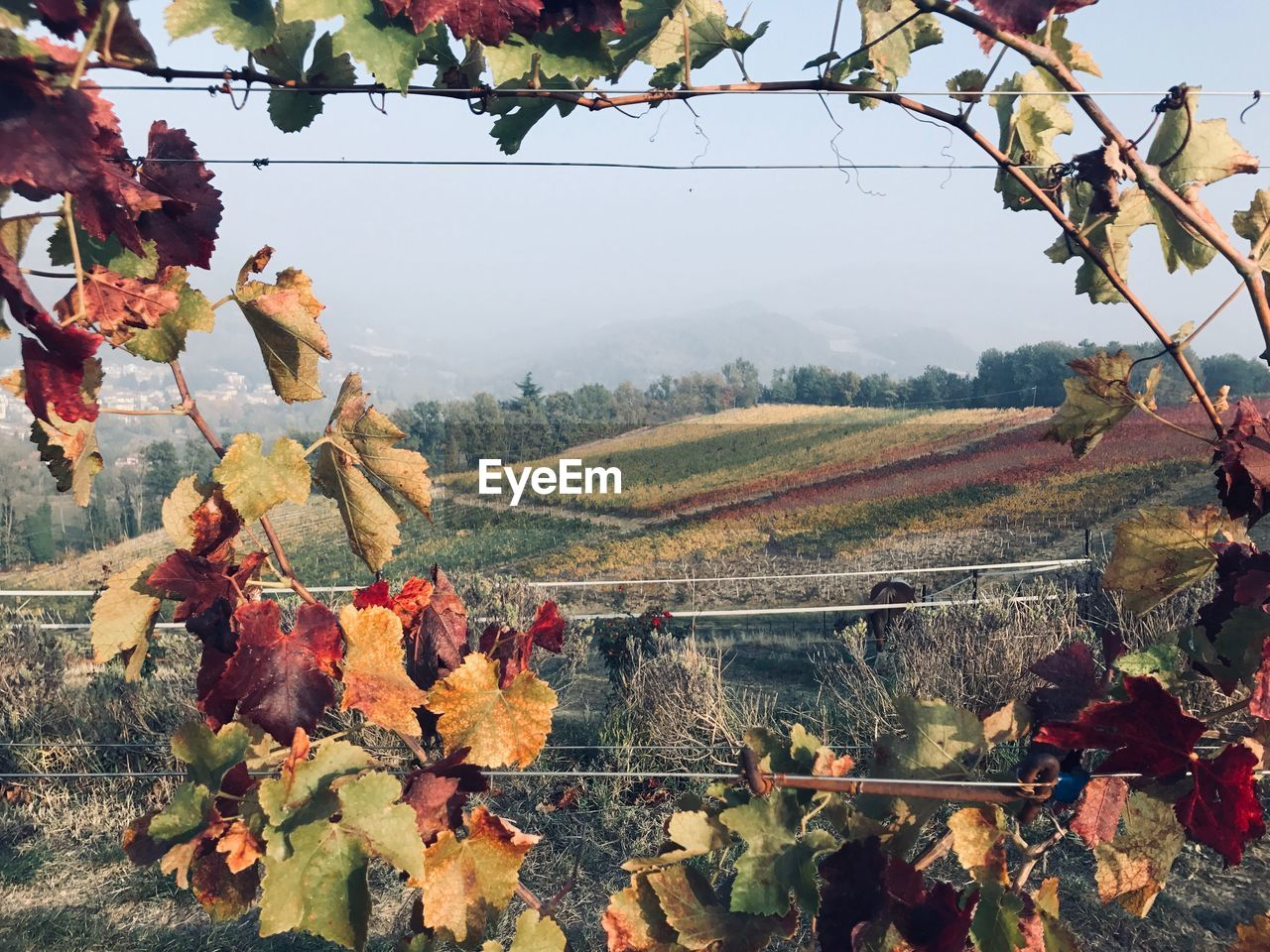 plant, landscape, nature, beauty in nature, mountain, leaf, environment, sky, day, tree, plant part, autumn, rural scene, tranquility, agriculture, scenics - nature, growth, vineyard, land, tranquil scene, no people, mountain range, outdoors, change, winemaking