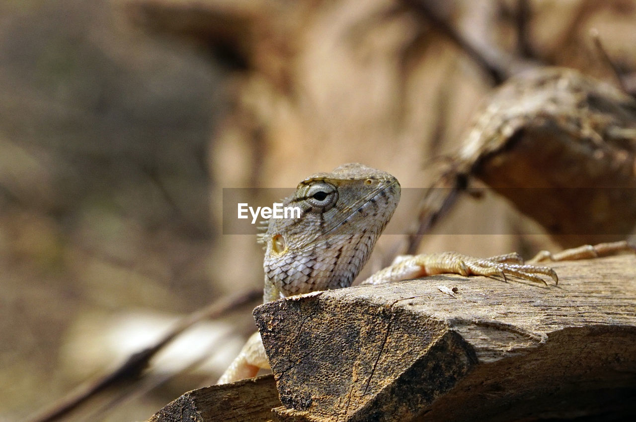 one animal, animal themes, animal, animals in the wild, animal wildlife, vertebrate, reptile, lizard, no people, close-up, focus on foreground, day, nature, selective focus, rock, bearded dragon, outdoors, rock - object, wood - material, solid, animal scale, animal eye
