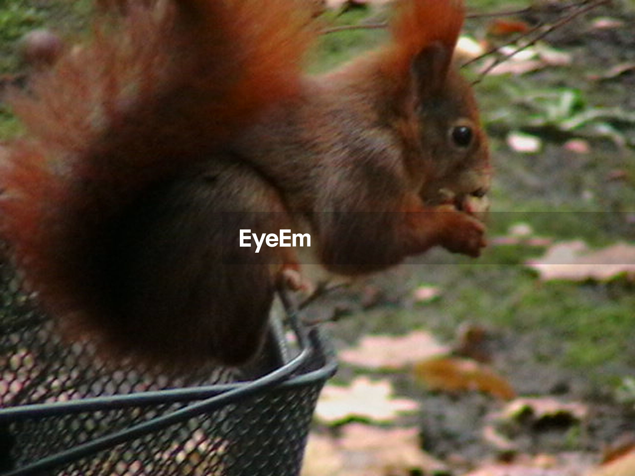animal themes, mammal, feeding, outdoors, day, one animal, animals in the wild, eating, nature, monkey, close-up, no people