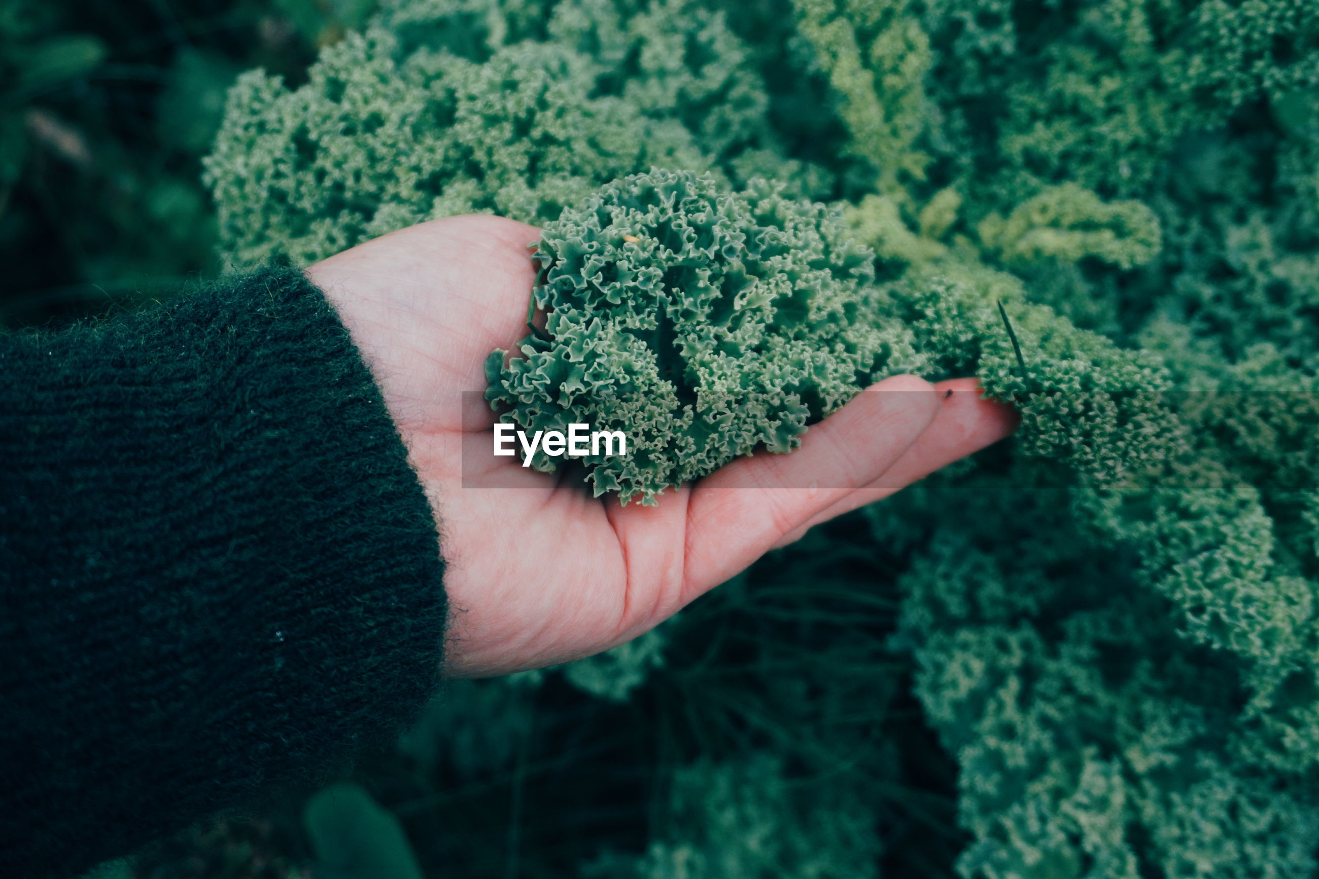 Cropped hand of woman touching kale in garden