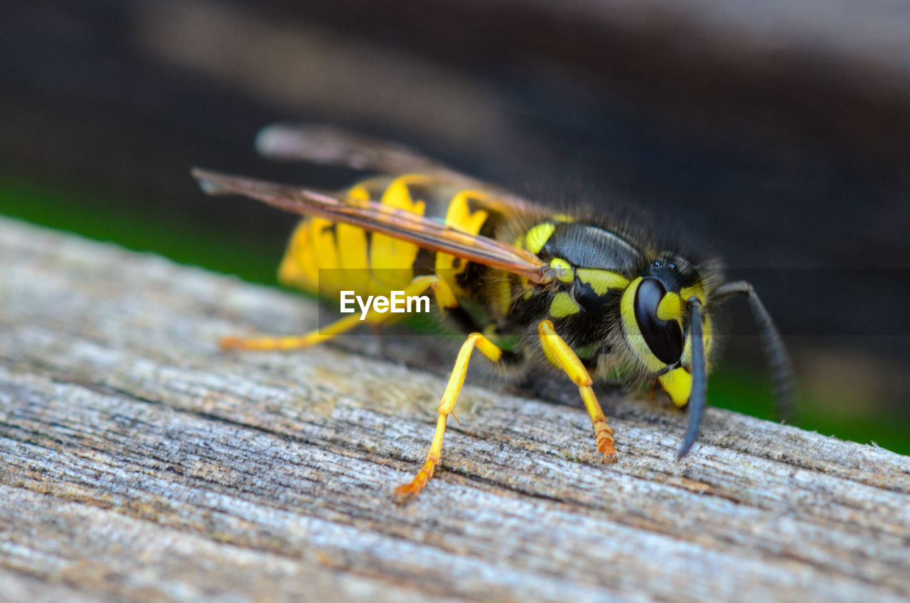 invertebrate, animals in the wild, insect, animal themes, animal, one animal, animal wildlife, wood - material, close-up, selective focus, day, no people, yellow, wasp, animal body part, nature, animal wing, outdoors, zoology, bee, animal eye