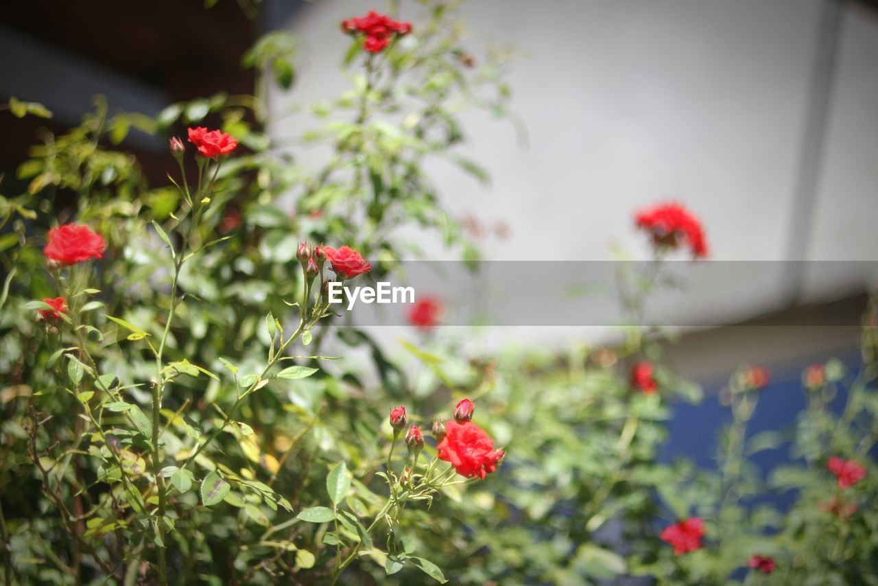 red, flower, growth, plant, nature, poppy, petal, no people, blooming, summer, beauty in nature, fragility, freshness, outdoors, flower head, day, close-up