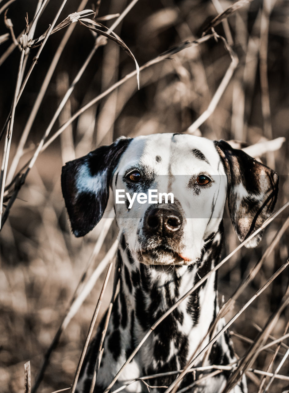 one animal, dog, canine, animal themes, animal, domestic animals, mammal, pets, domestic, portrait, looking at camera, focus on foreground, vertebrate, no people, day, close-up, nature, field, animal body part, plant, outdoors, animal head, purebred dog
