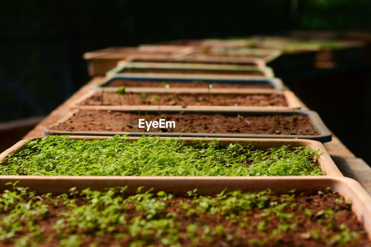selective focus, growth, in a row, plant, green color, freshness, no people, food, close-up, nature, food and drink, day, healthy eating, agriculture, vegetable, seedling, outdoors, land, field, gardening, surface level