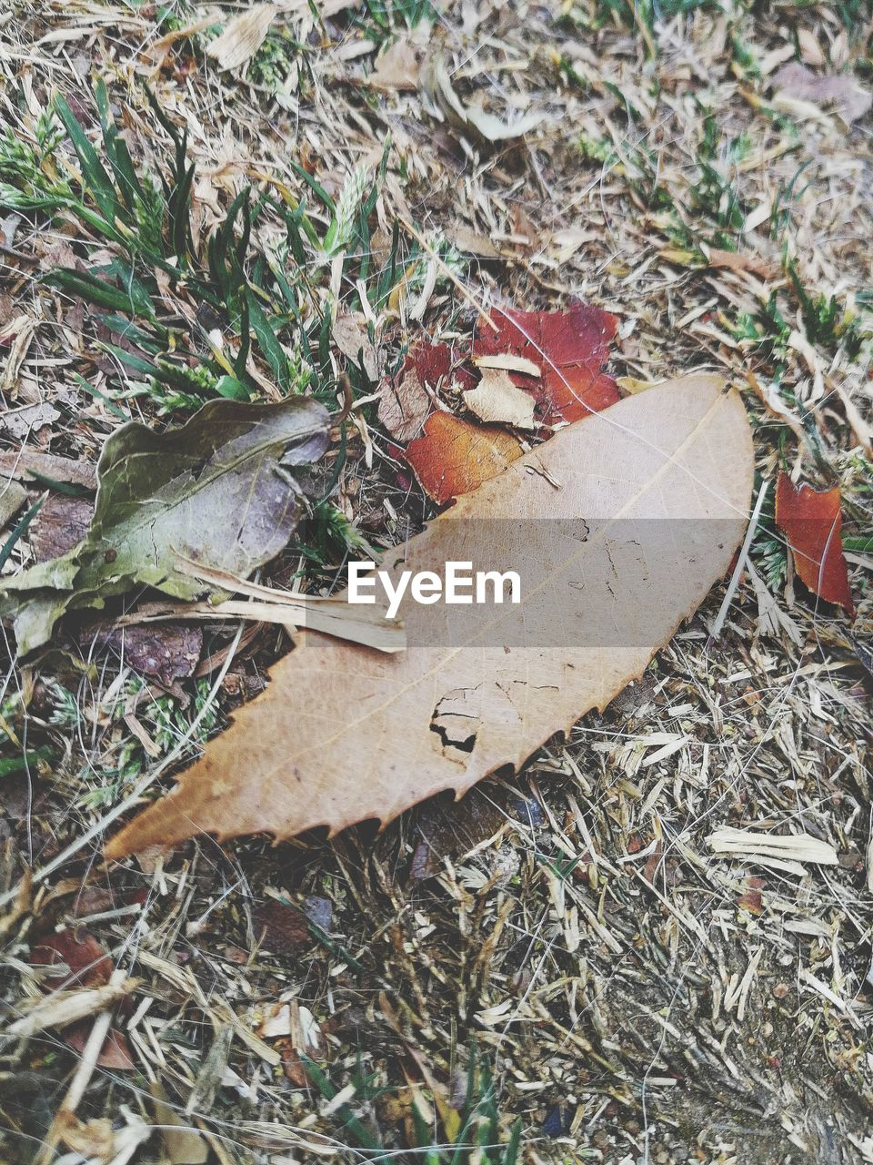 leaf, autumn, dry, change, leaves, high angle view, fallen, field, nature, day, outdoors, no people, grass, close-up, maple leaf, maple
